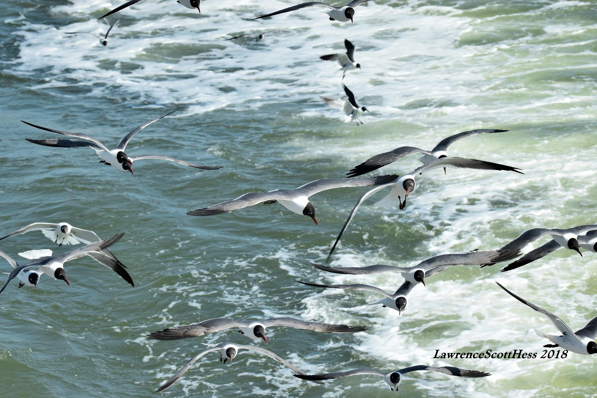 Galveston 523~Flock Of Seagulls by Lawrence Scott Hess