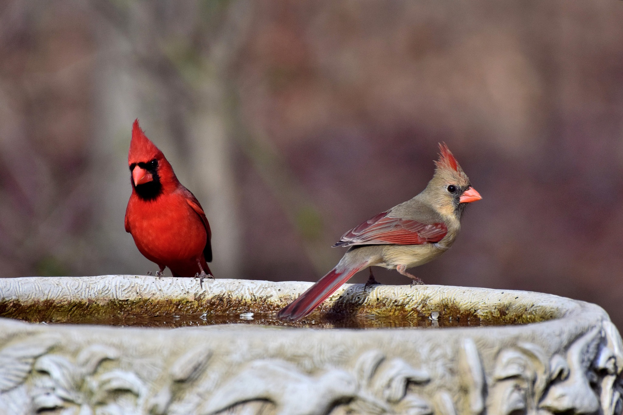 Nature's Birds 470~The Cardinal Pair by Lawrence Scott Hess