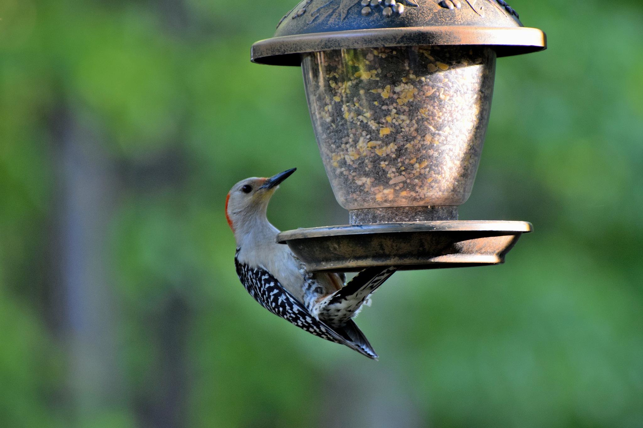 Natrue's Birds 619~Feeding The Woodpecker by Lawrence Scott Hess