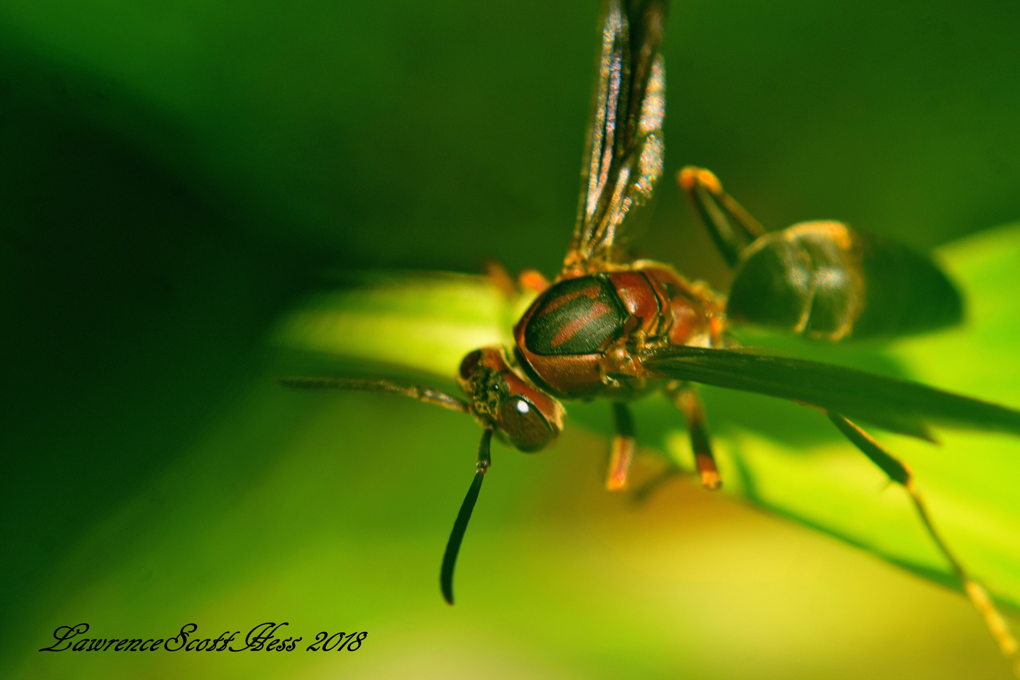 Photo in Nature #bugs #insects #wasp #nature