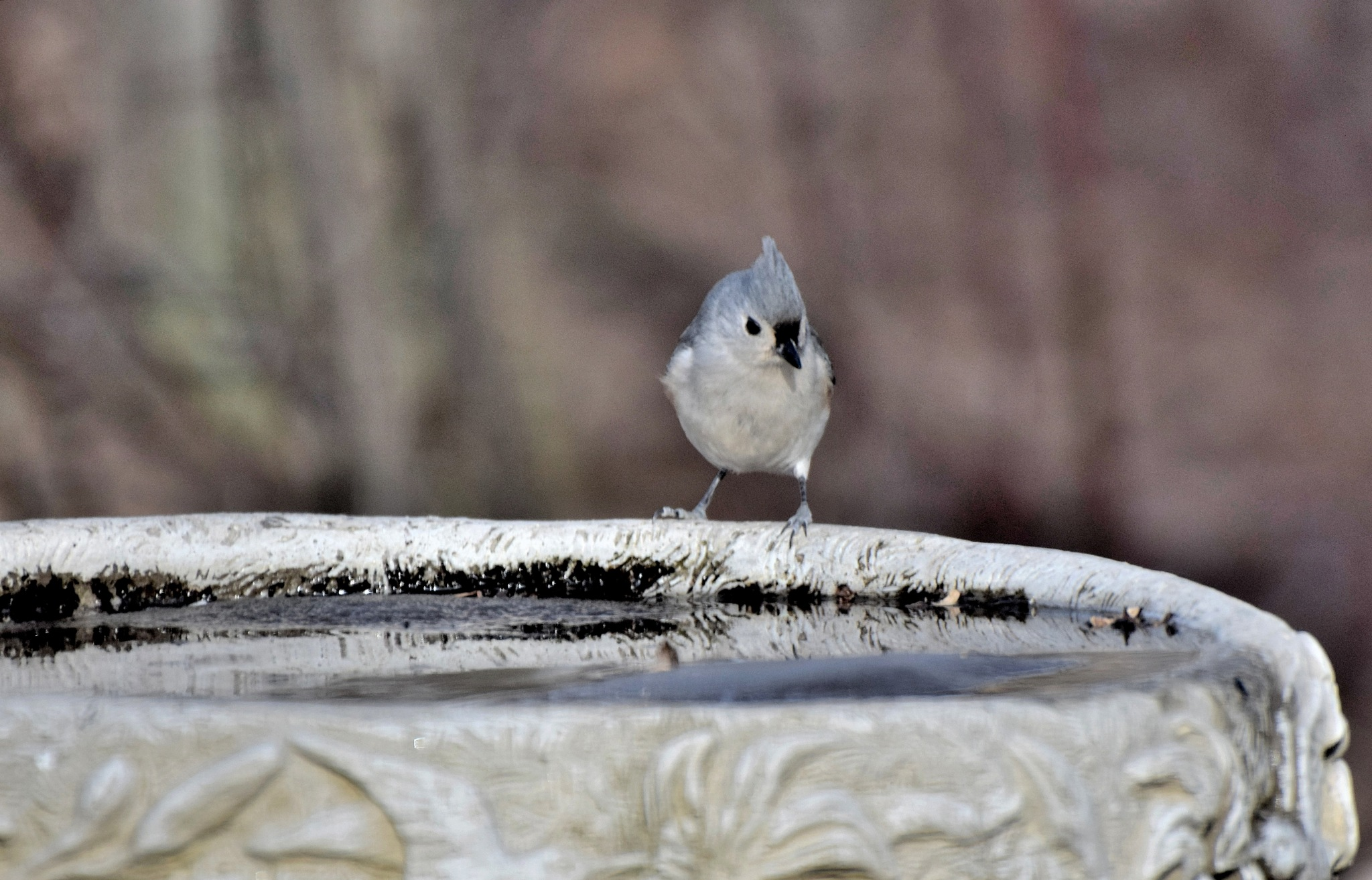 Natue's Birds 1442~Pretty Little Titmouse by Lawrence Scott Hess