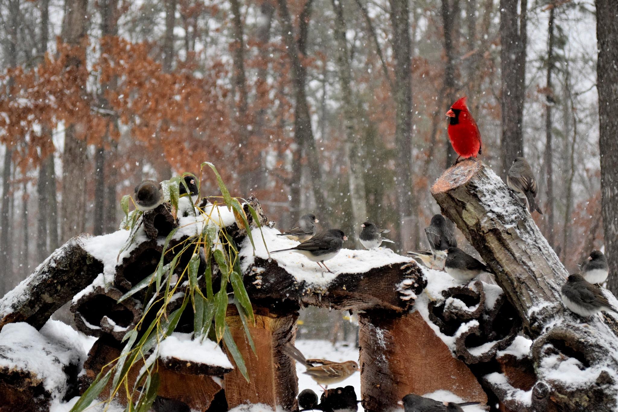 Nature's Birds 153~Snowy Days 3 by Lawrence Scott Hess