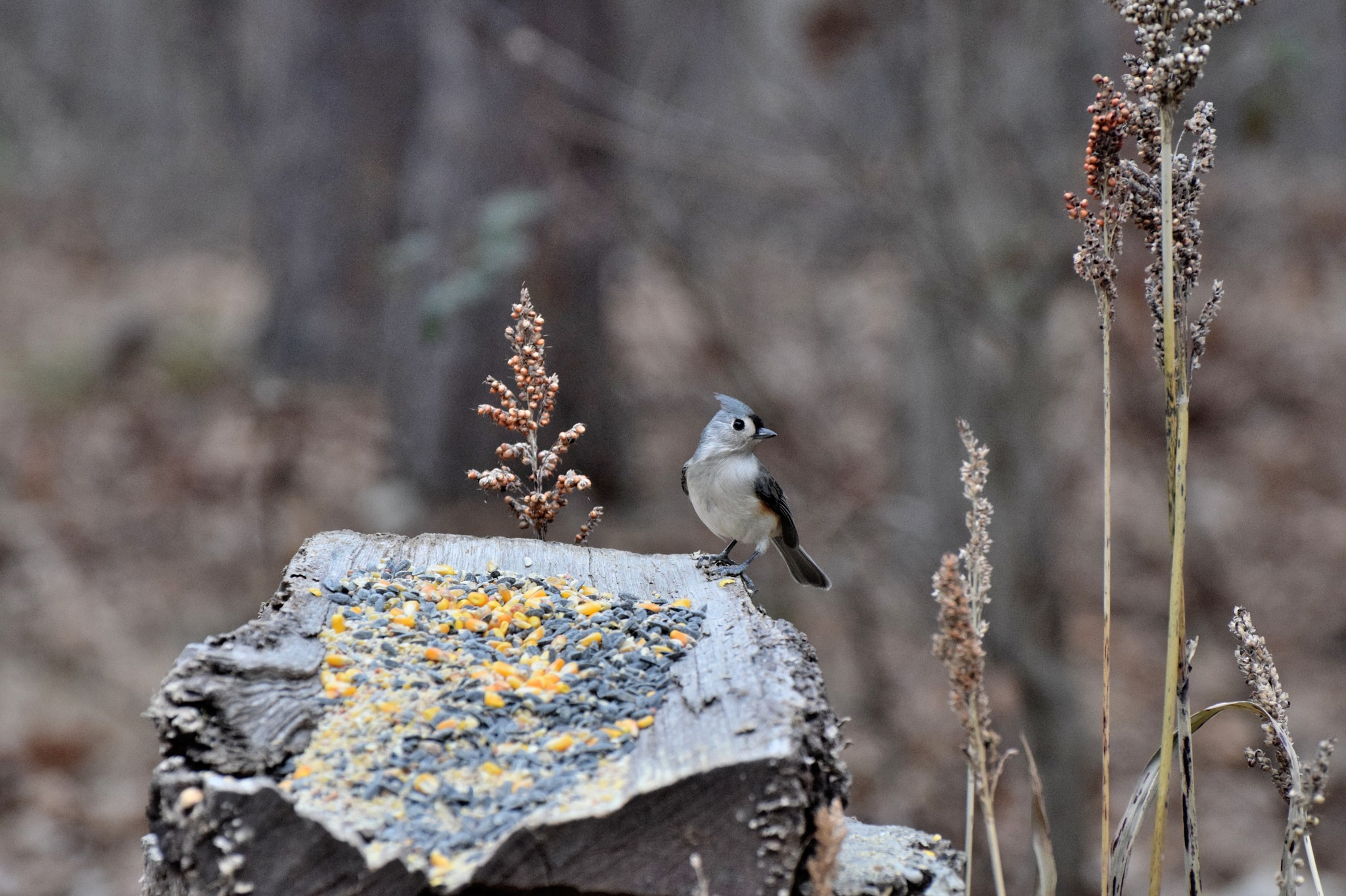 Nature's Birds 228~Tufted Titmouse by Lawrence Scott Hess