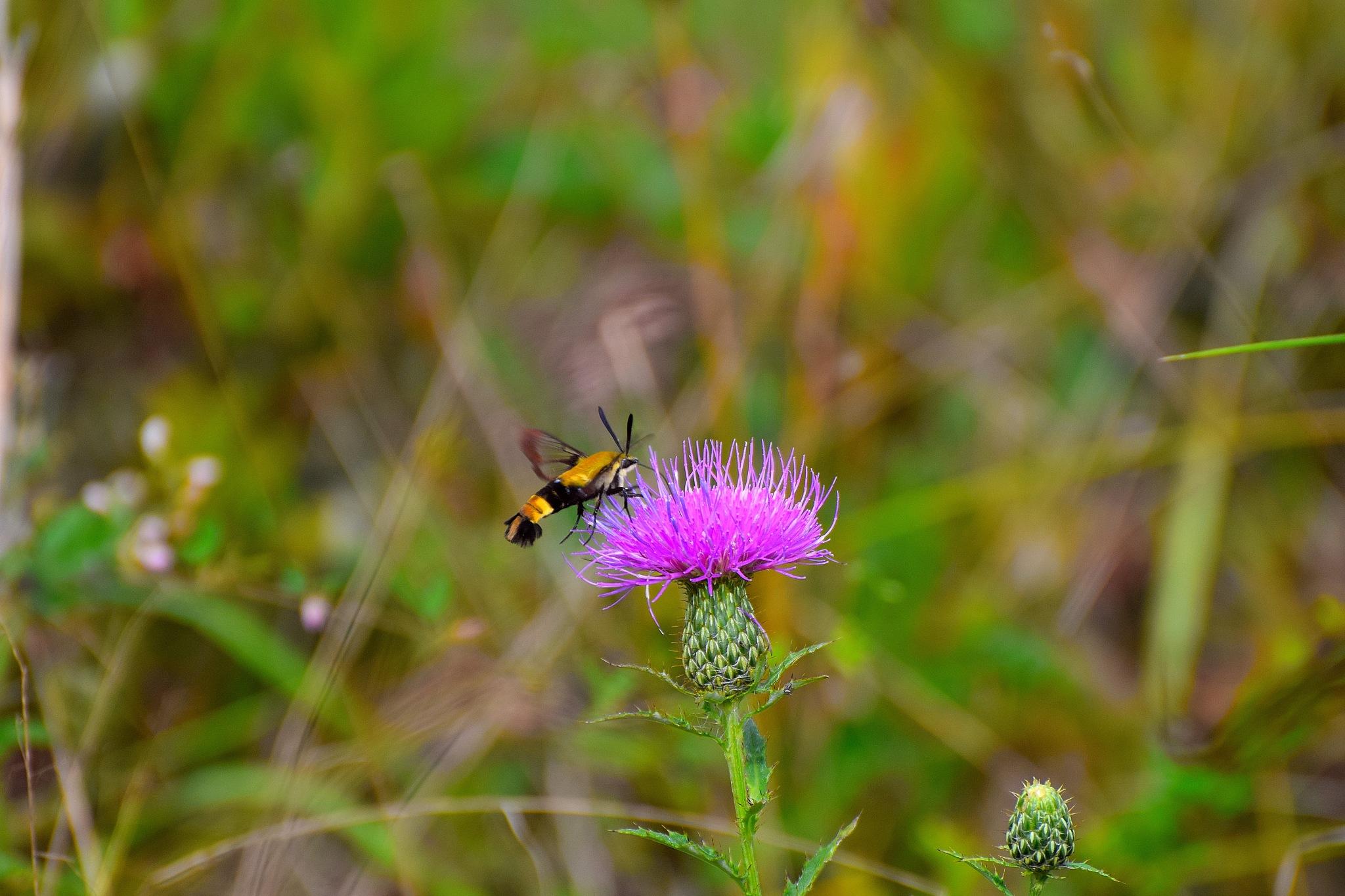Todays Art 3260~The Hummingbird Moth by Lawrence Scott Hess