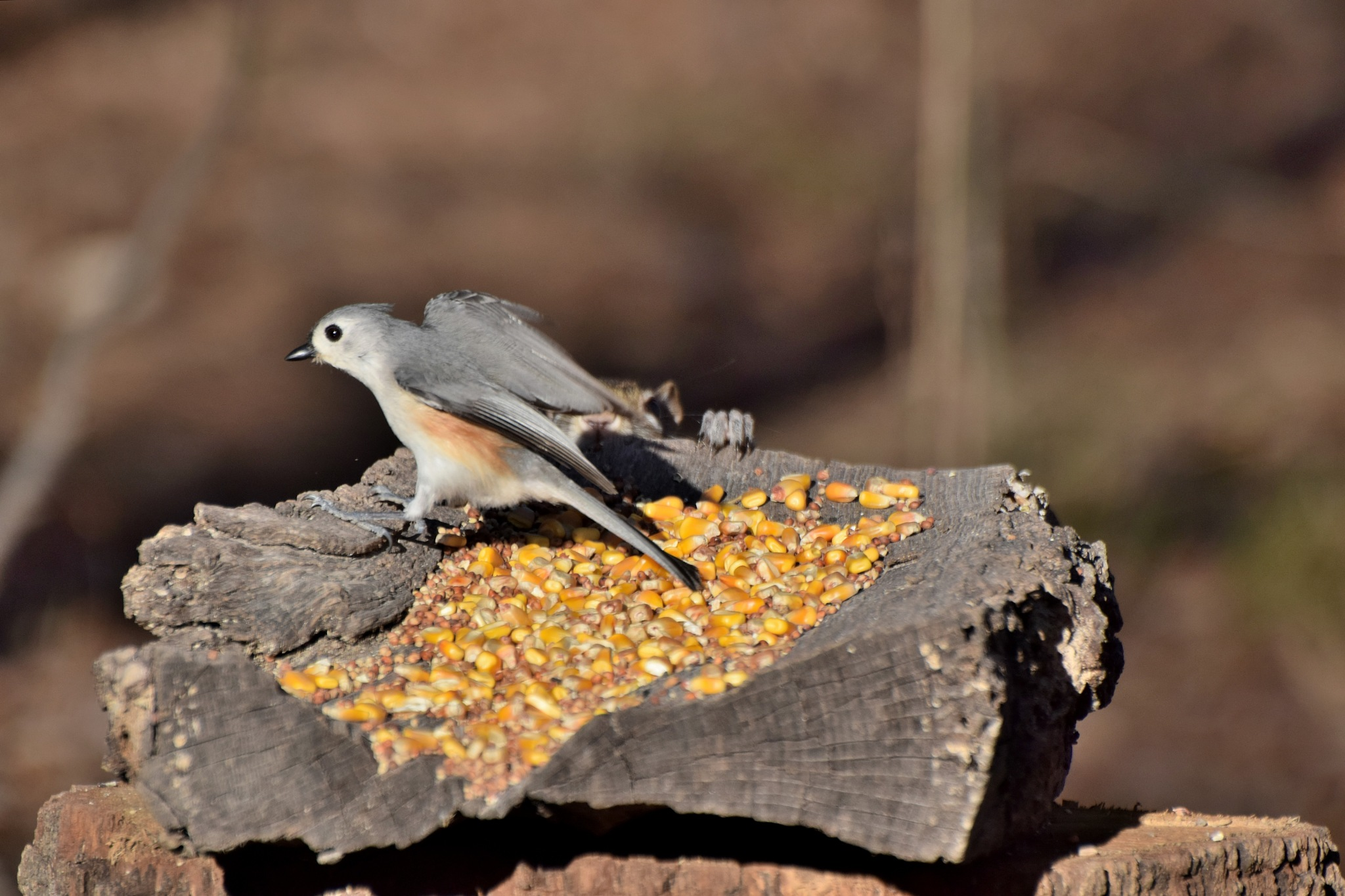 Nature's Birds 1678~The Tufted Titmouse by Lawrence Scott Hess