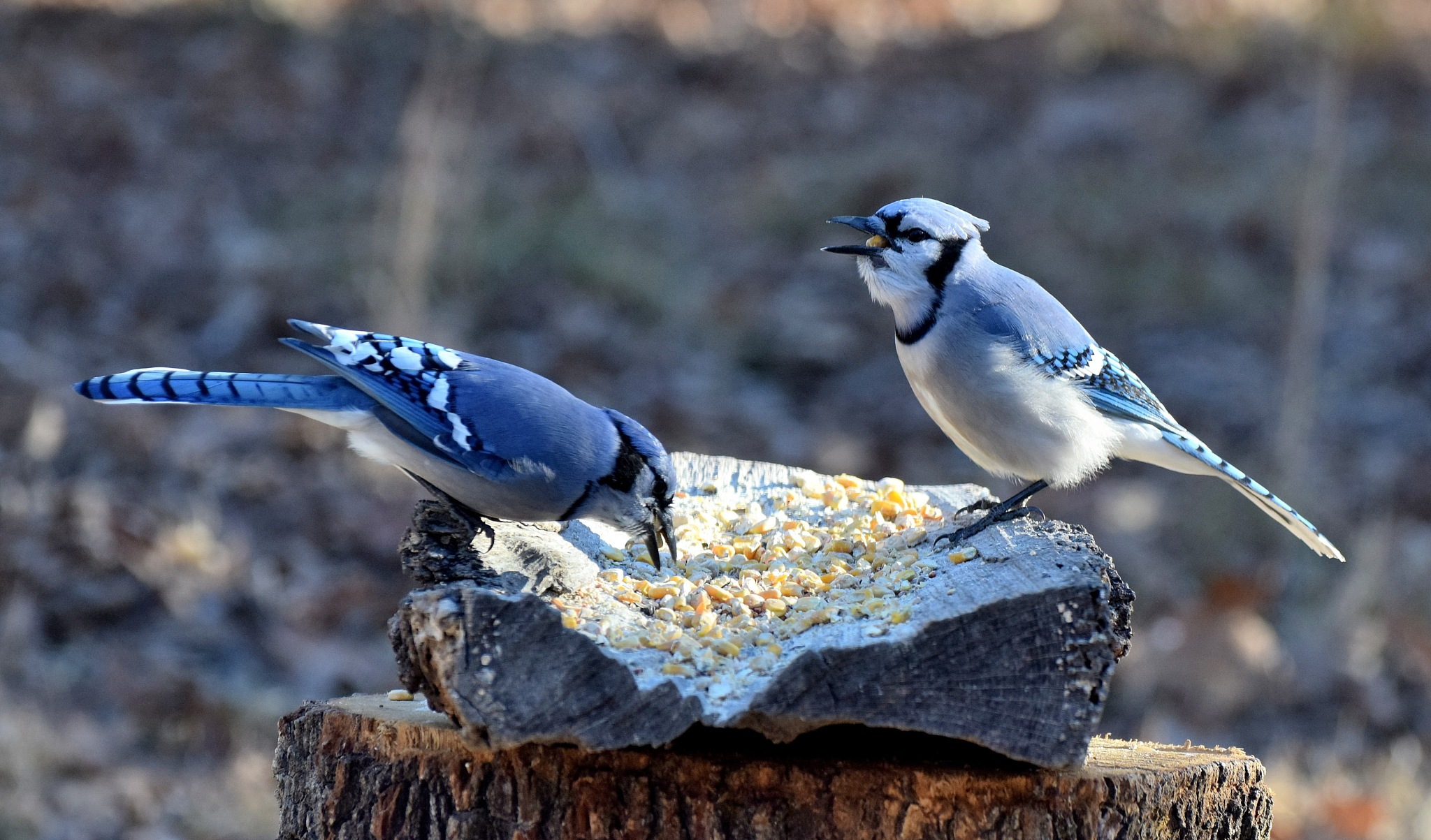 Nature's Birds 1437~A Pair Of Blue Jays by Lawrence Scott Hess