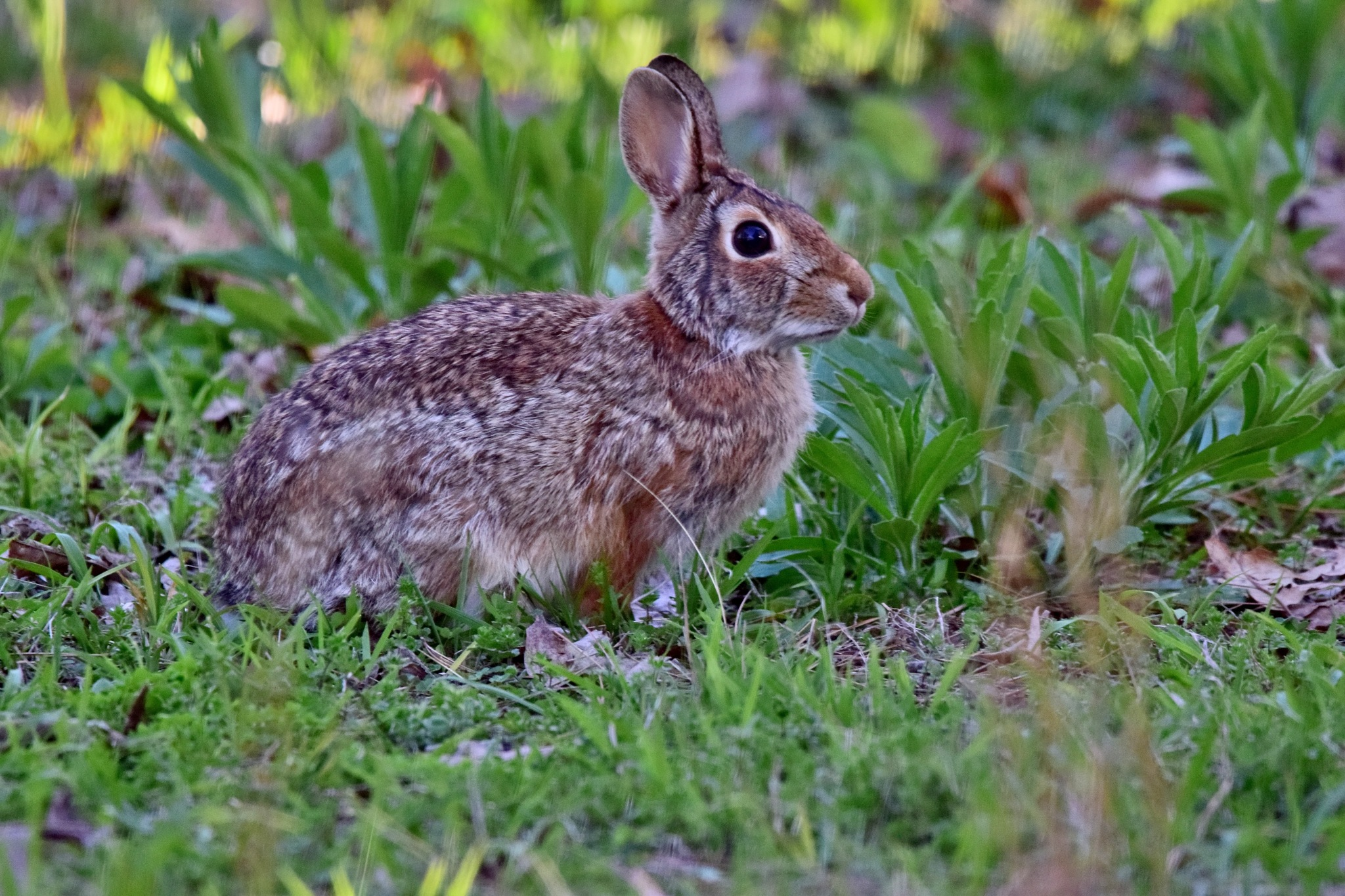 Scottys Art 96~The Wild Rabbit by Lawrence Scott Hess