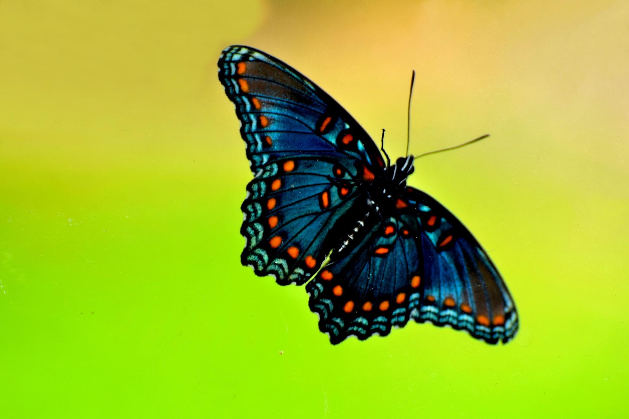 Butterfly Art 26 by Lawrence Scott Hess