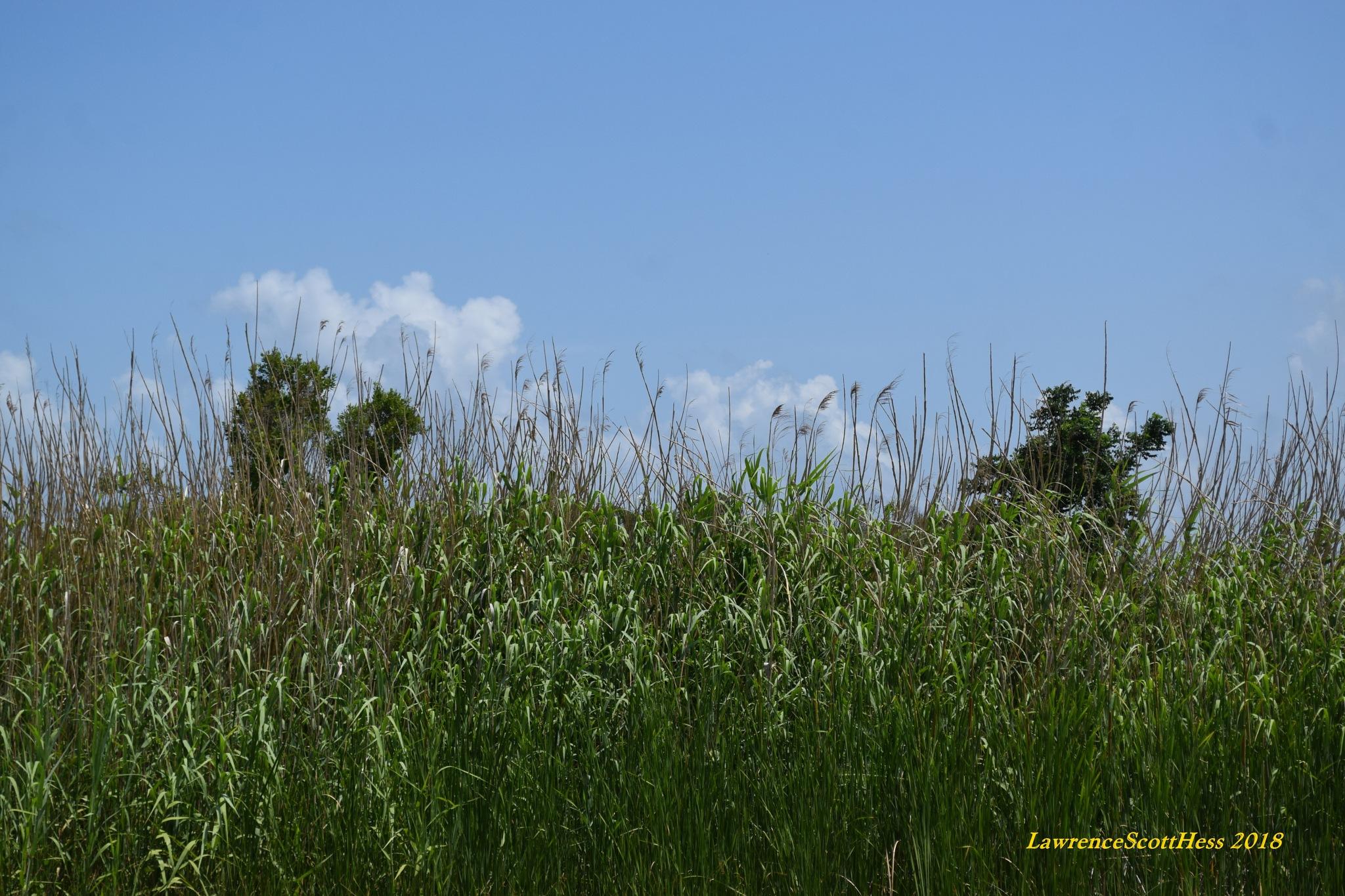Galveston 360~Sand Dune Weeds by Lawrence Scott Hess