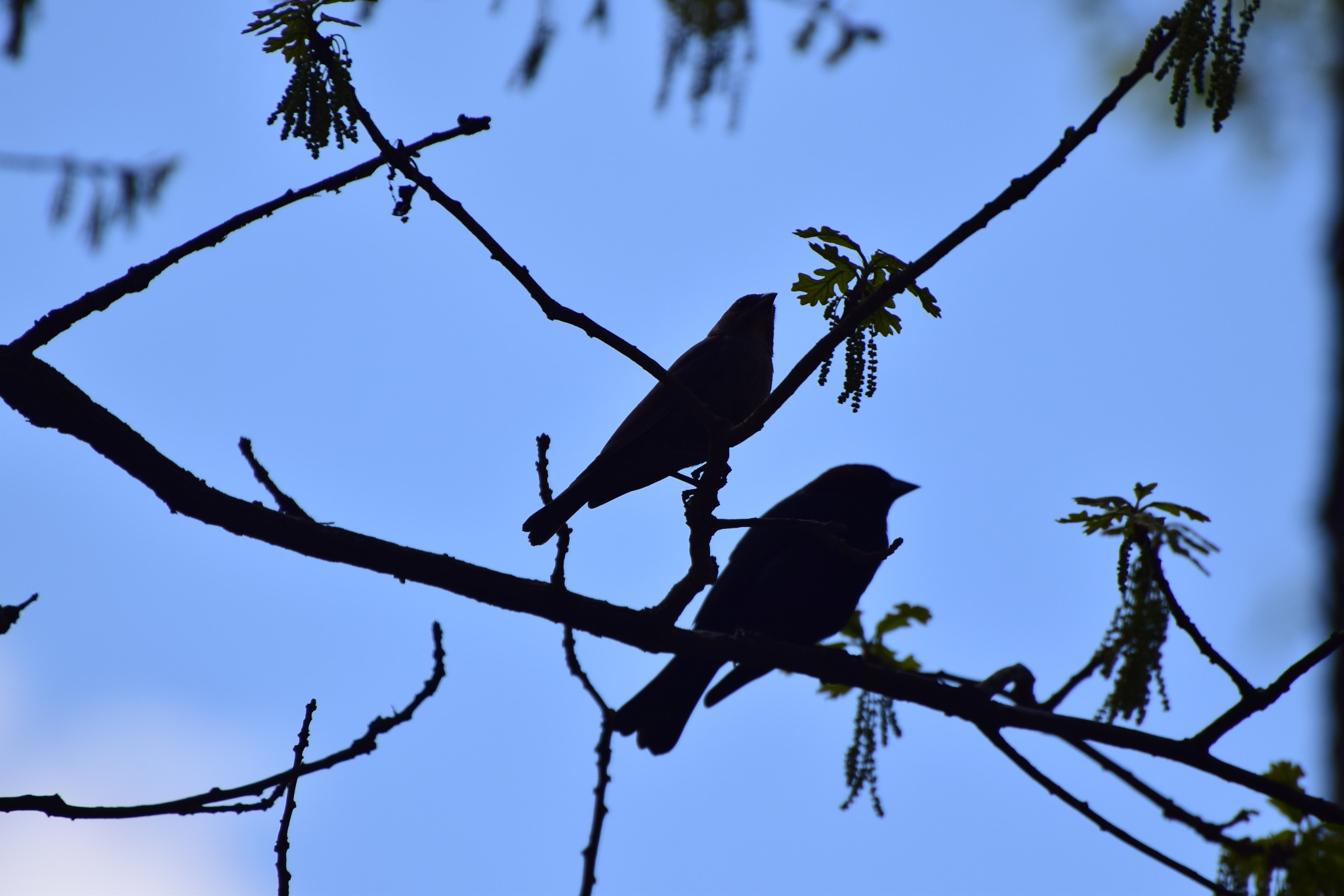 Nature's Birds 553~Cowbird Silhouettes by Lawrence Scott Hess