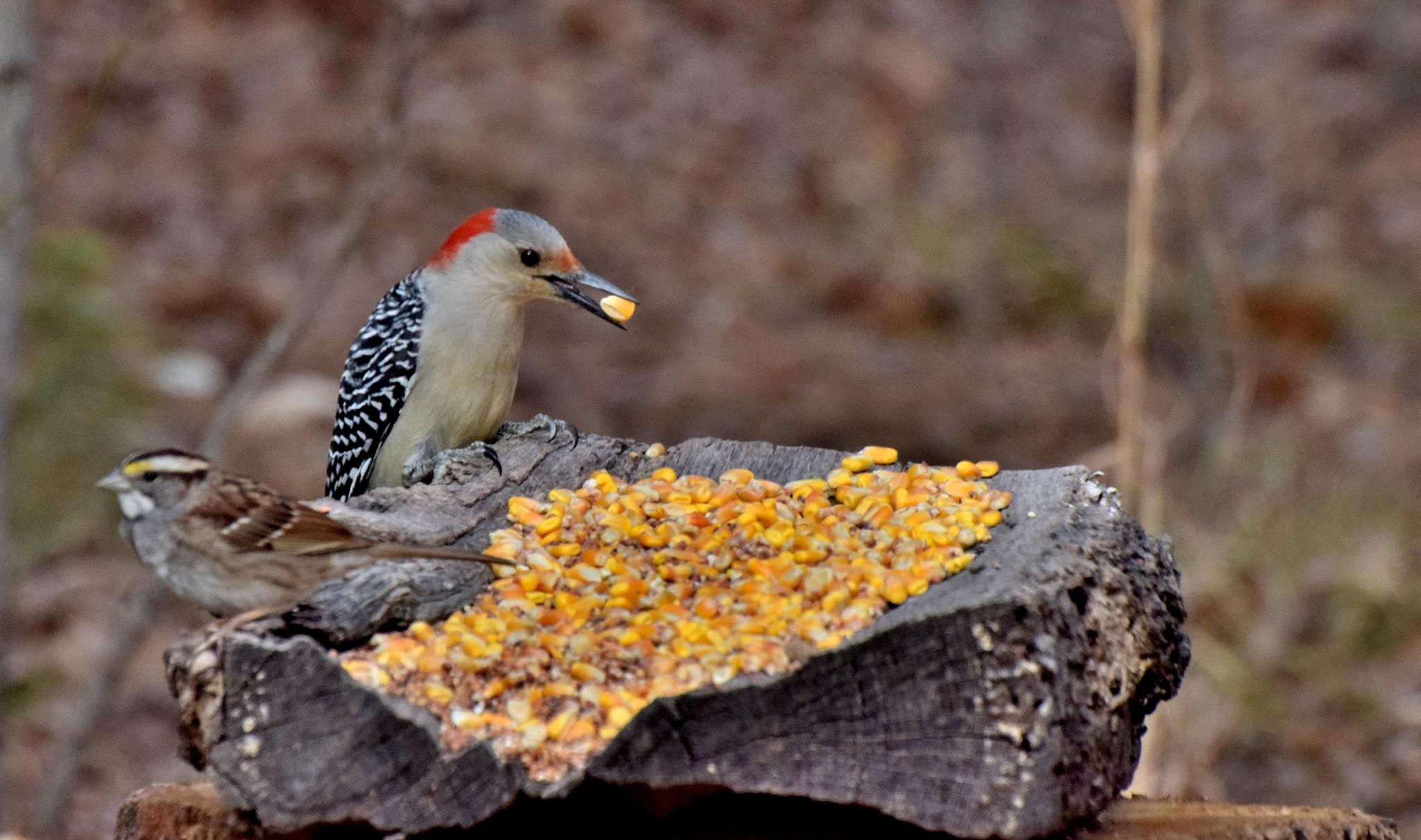 Nature's Birds 1677~The Pretty Woodpecker by Lawrence Scott Hess