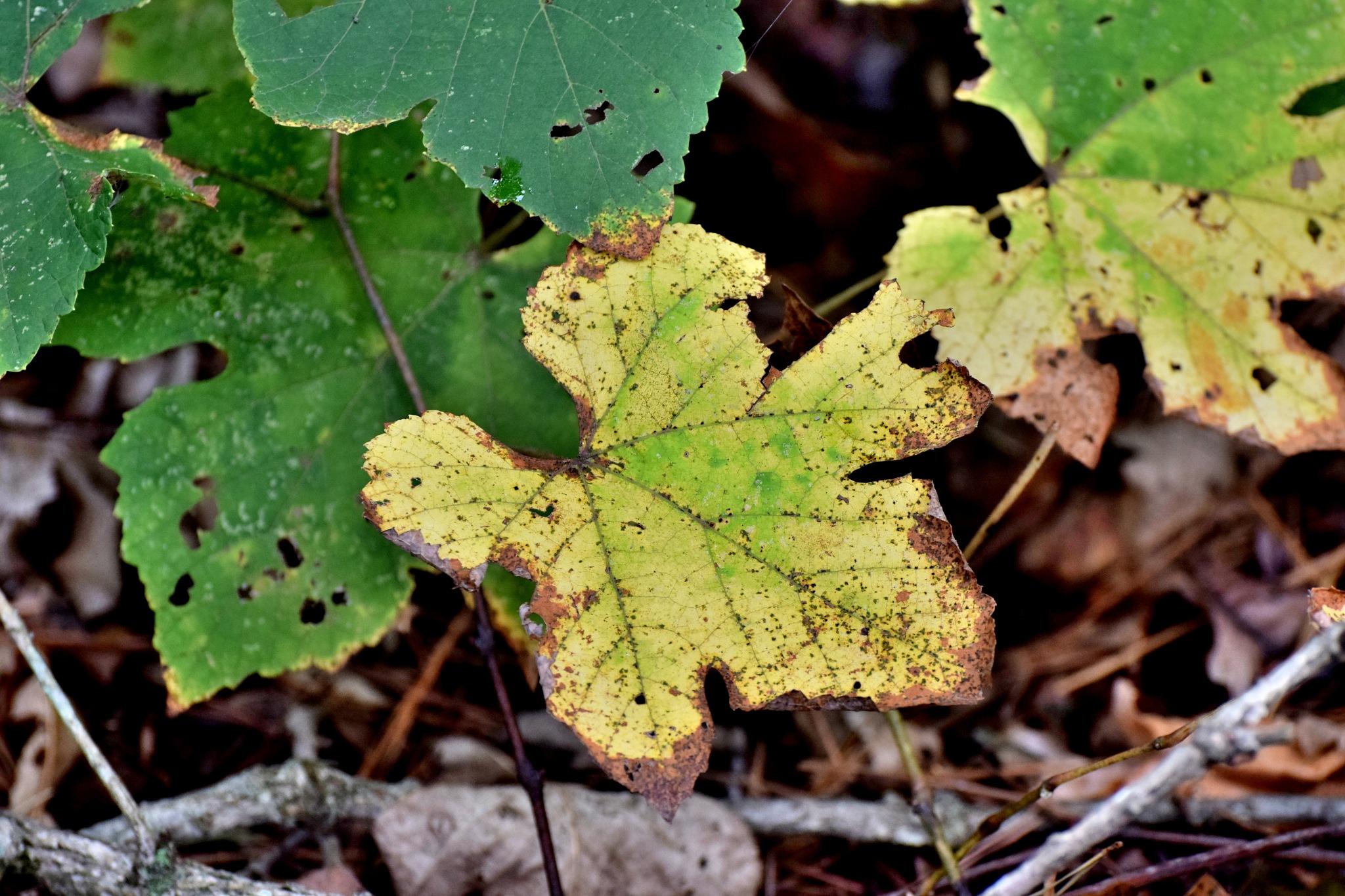 Todays Art 5532~Oak Leaves by Lawrence Scott Hess
