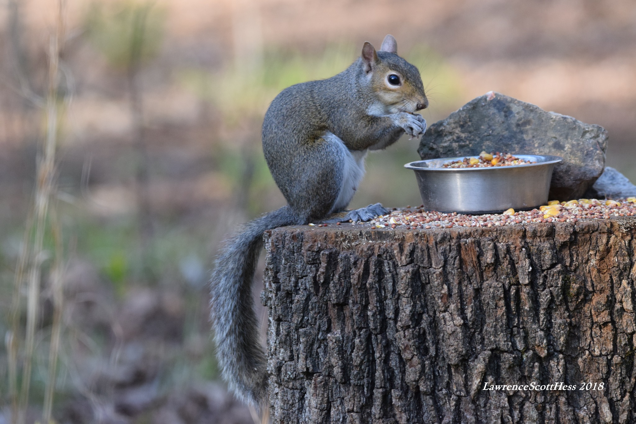 Scotty's Art 229~The Feasting Squirrel by Lawrence Scott Hess