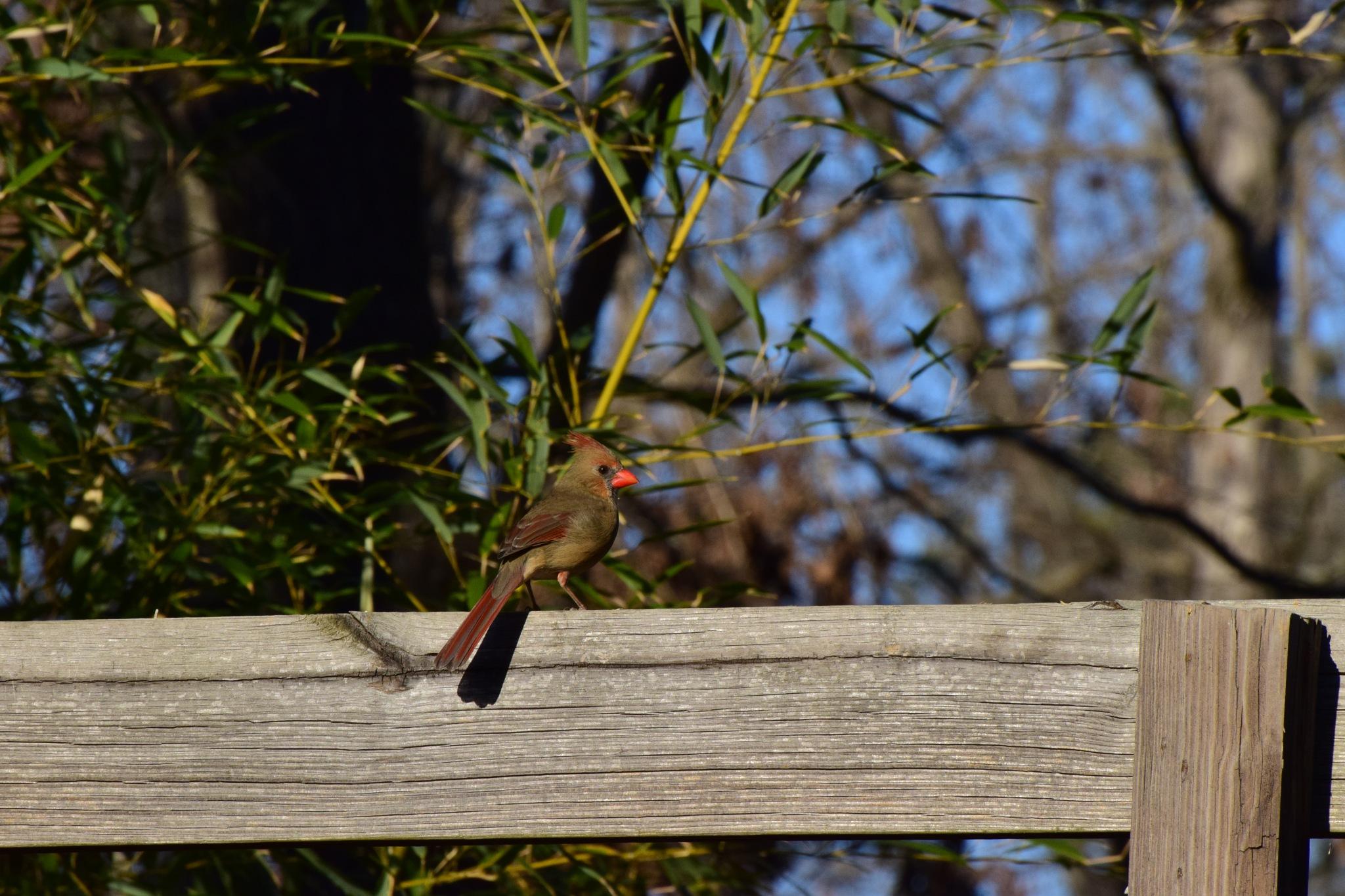 Winter Birds 269~ Pretty Female Cardinal 2 by Lawrence Scott Hess