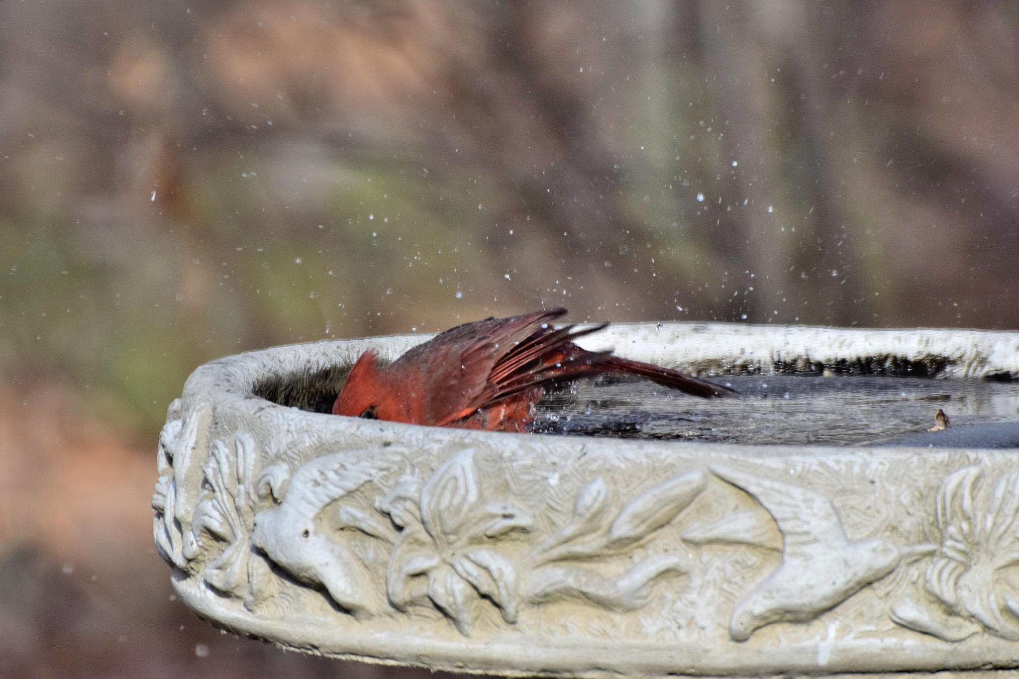 Nature's Birds 1441~Taking A Bath 3 by Lawrence Scott Hess