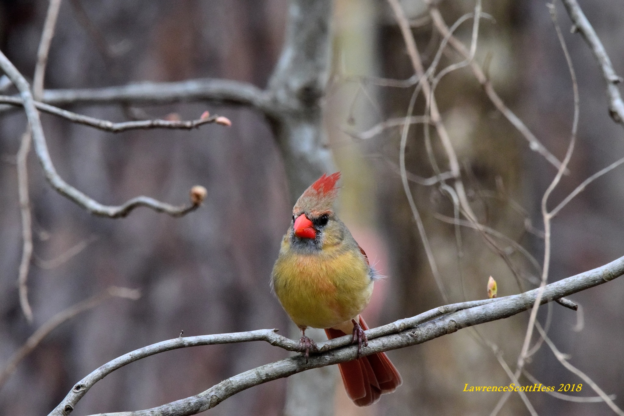 Scotty's Art 181~The Pretty Cardinal by Lawrence Scott Hess
