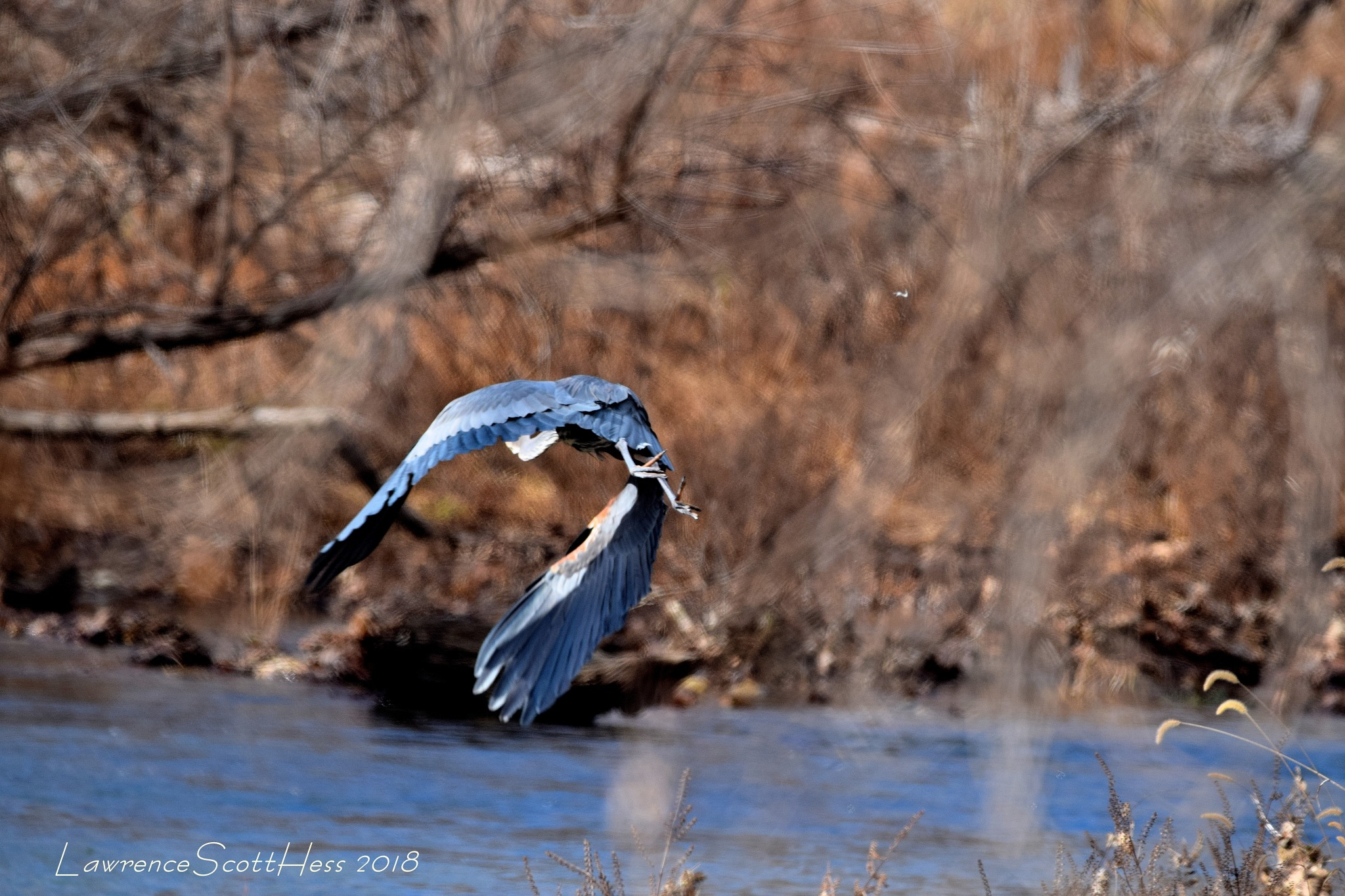 Birds Of Nature   (643)~Wings Of The Blue Heron by Lawrence Scott Hess