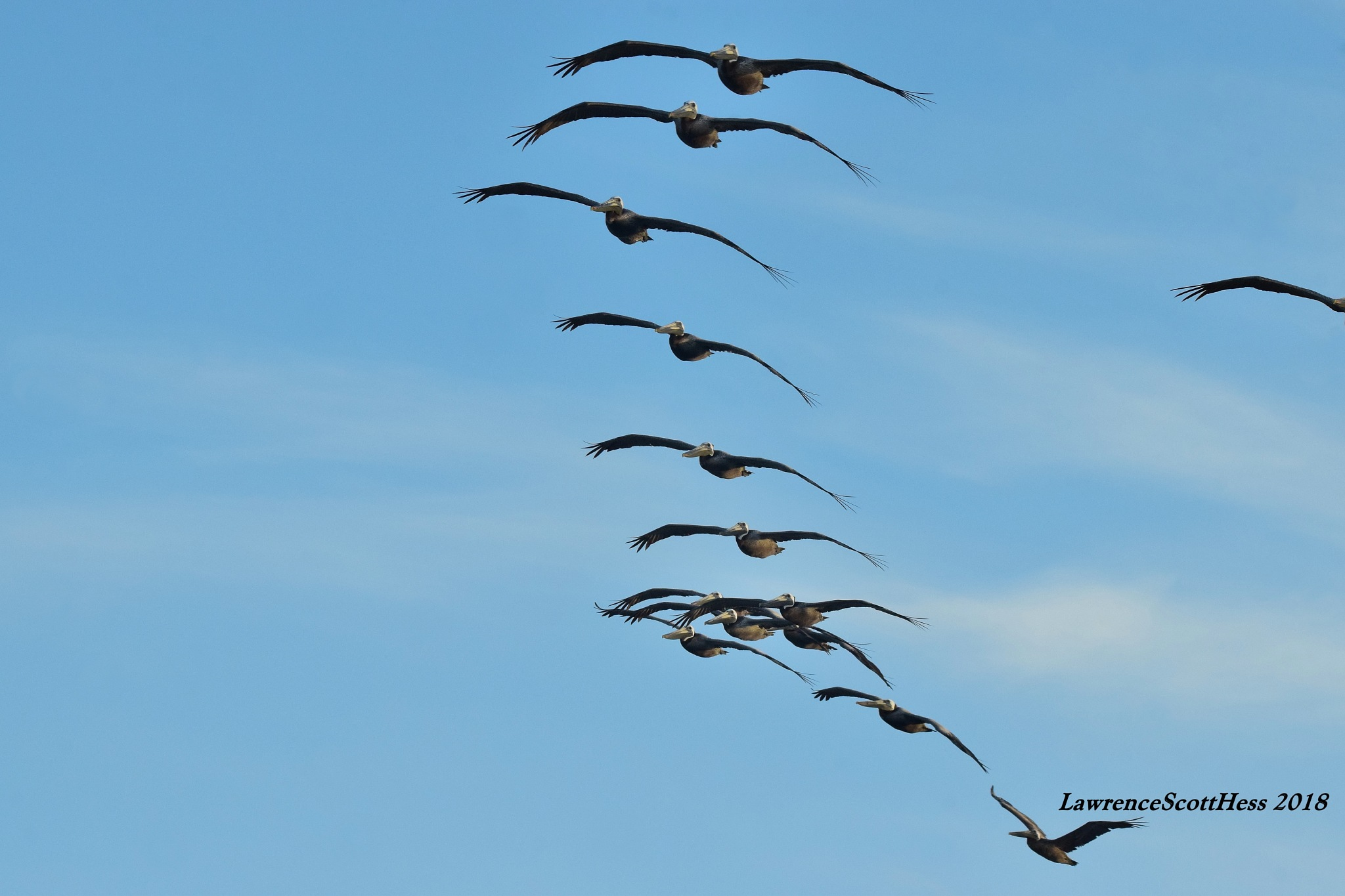 Galveston 340~Flying Pelicans by Lawrence Scott Hess
