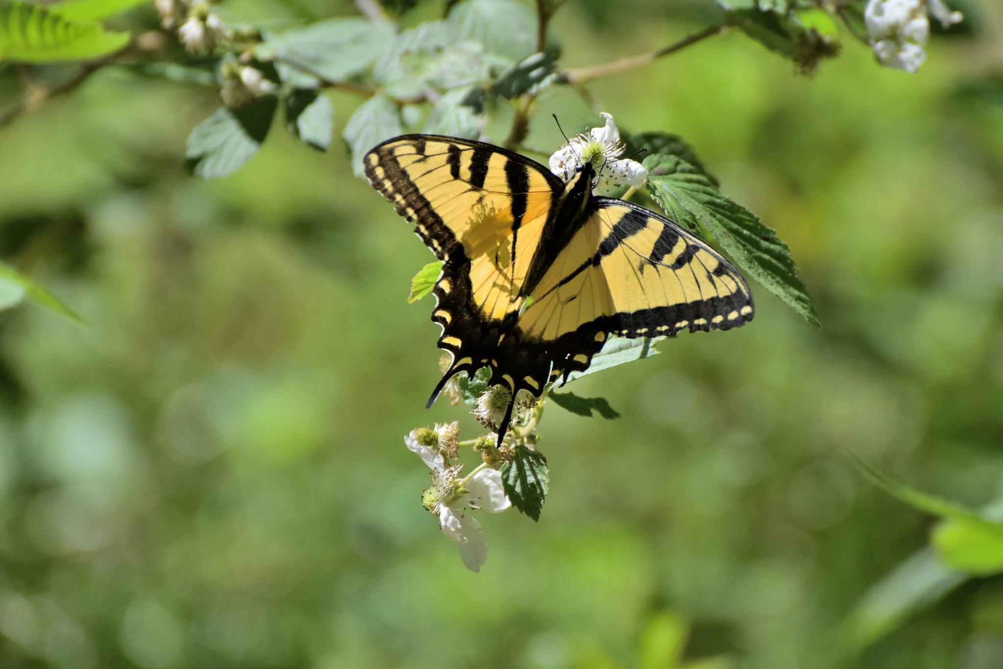 Todays Art 4328~ Monday Monarch Butterfly by Lawrence Scott Hess