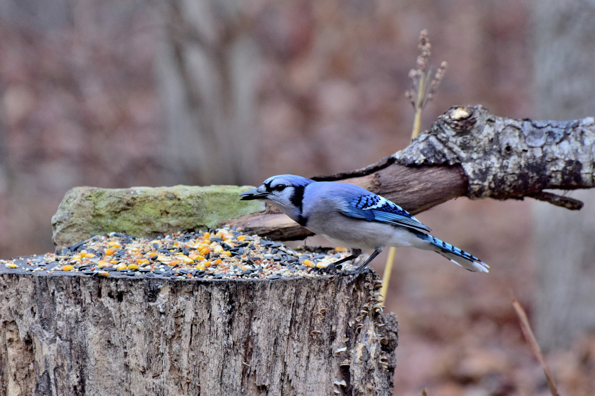 Nature's Birds 383~Stretched Blue Jay by Lawrence Scott Hess
