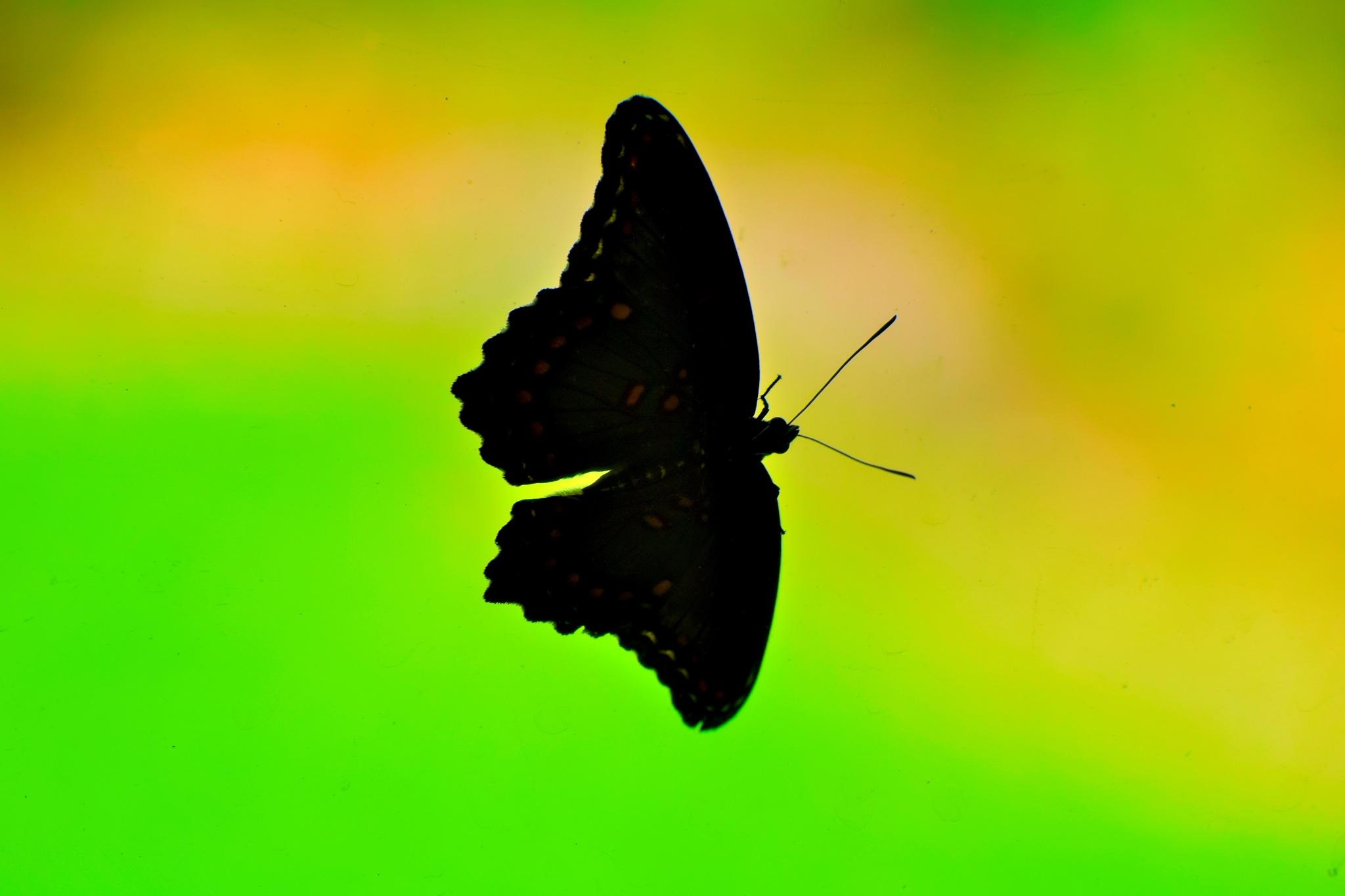 Butterfly Art 32 by Lawrence Scott Hess
