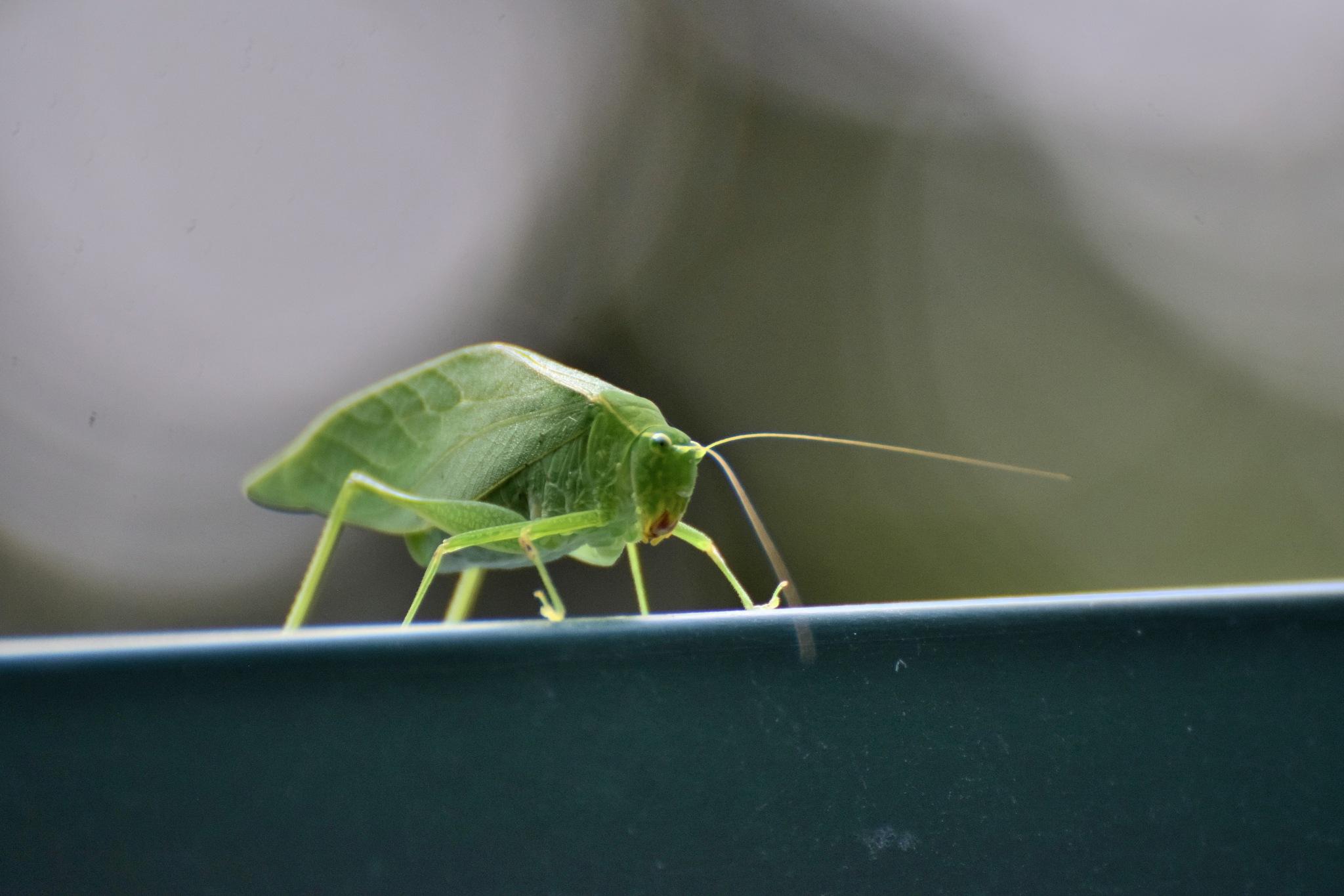 Todays Art 5125~Big Ole Green Grasshopper by Lawrence Scott Hess