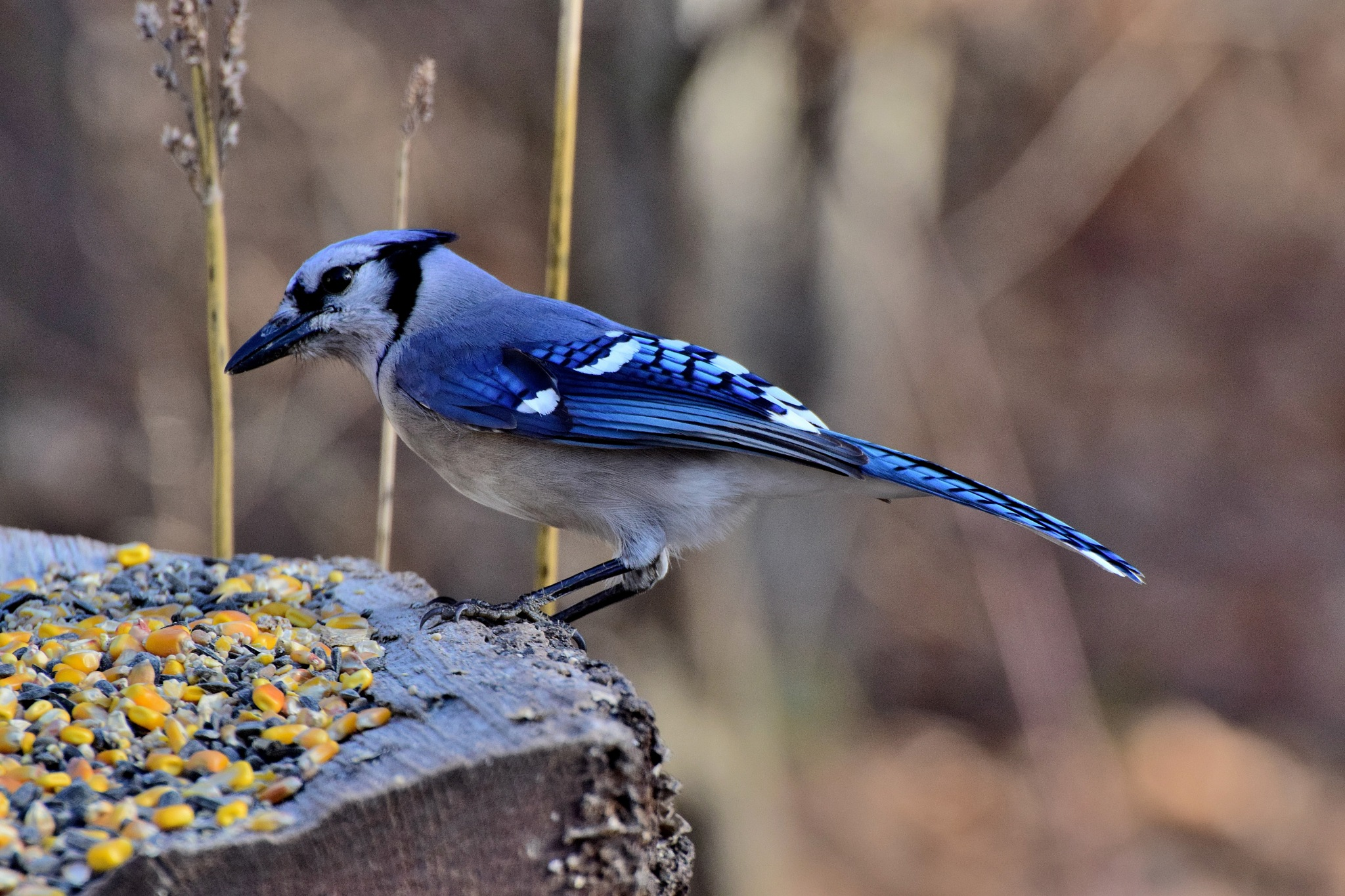 Winter Birds 315~Mighty Blue Jay by Lawrence Scott Hess
