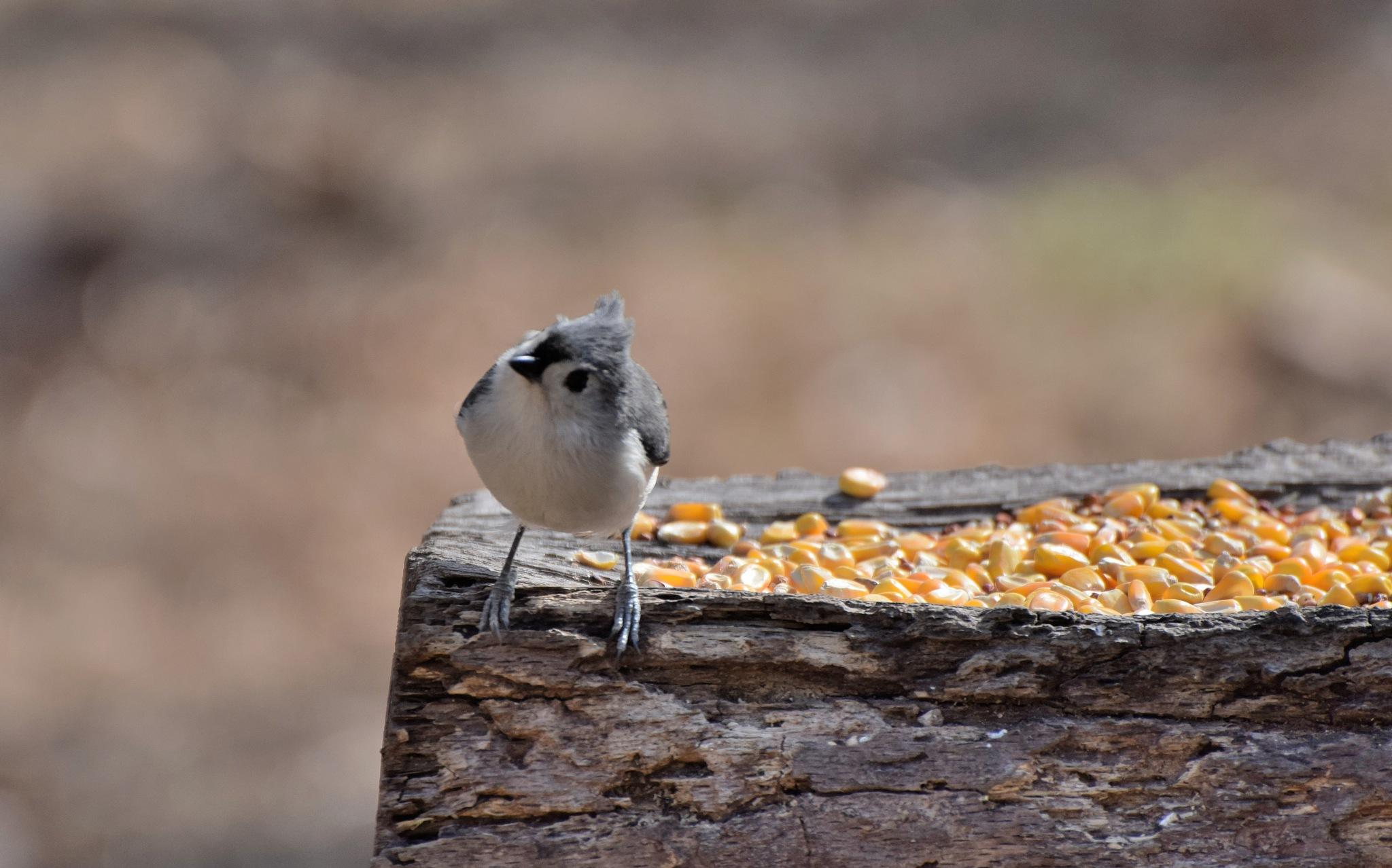 Nature's Birds 1556~Pretty Little Titmouse by Lawrence Scott Hess