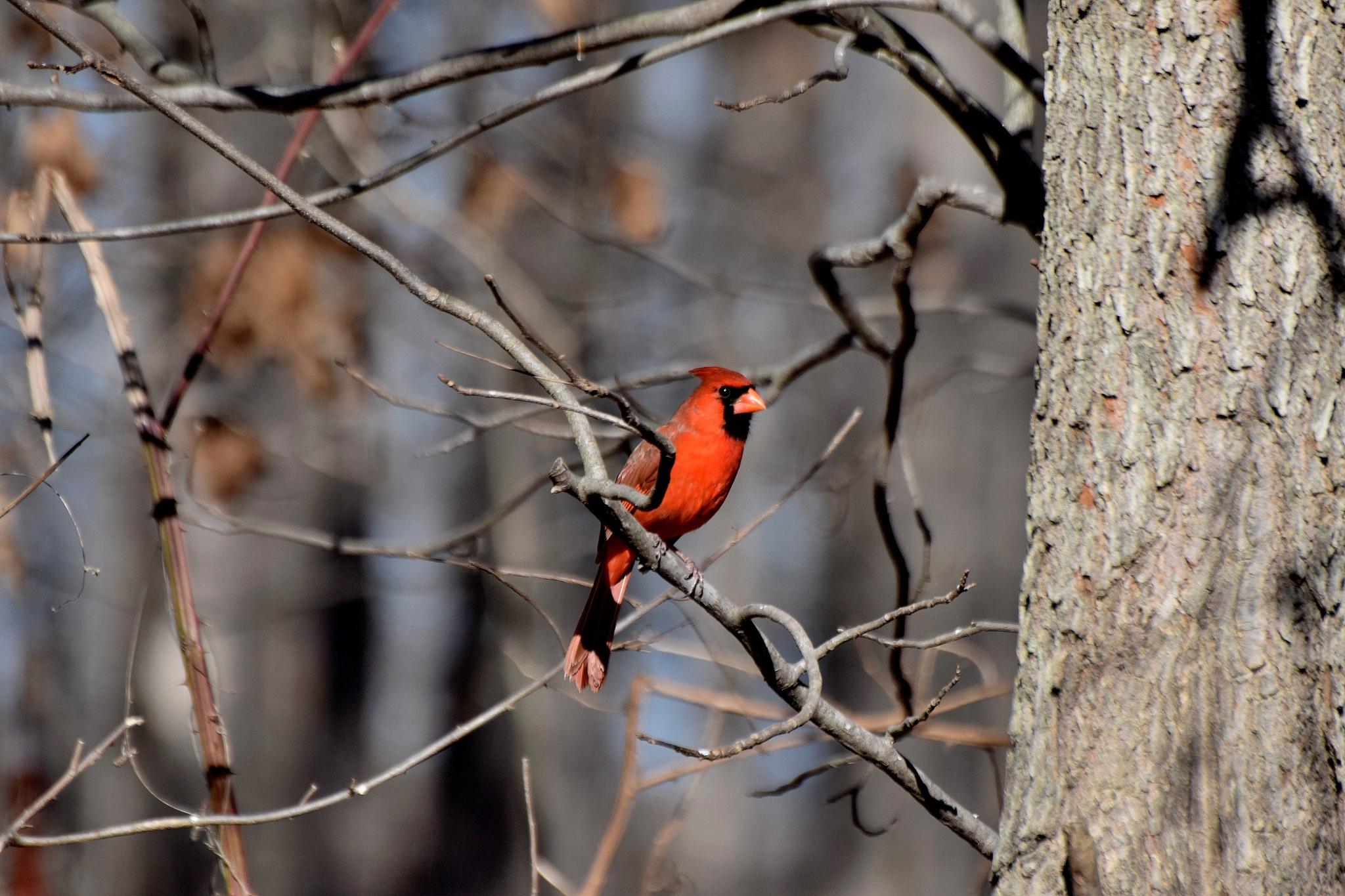 Nature's Birds 1671~Tree Cardinal by Lawrence Scott Hess