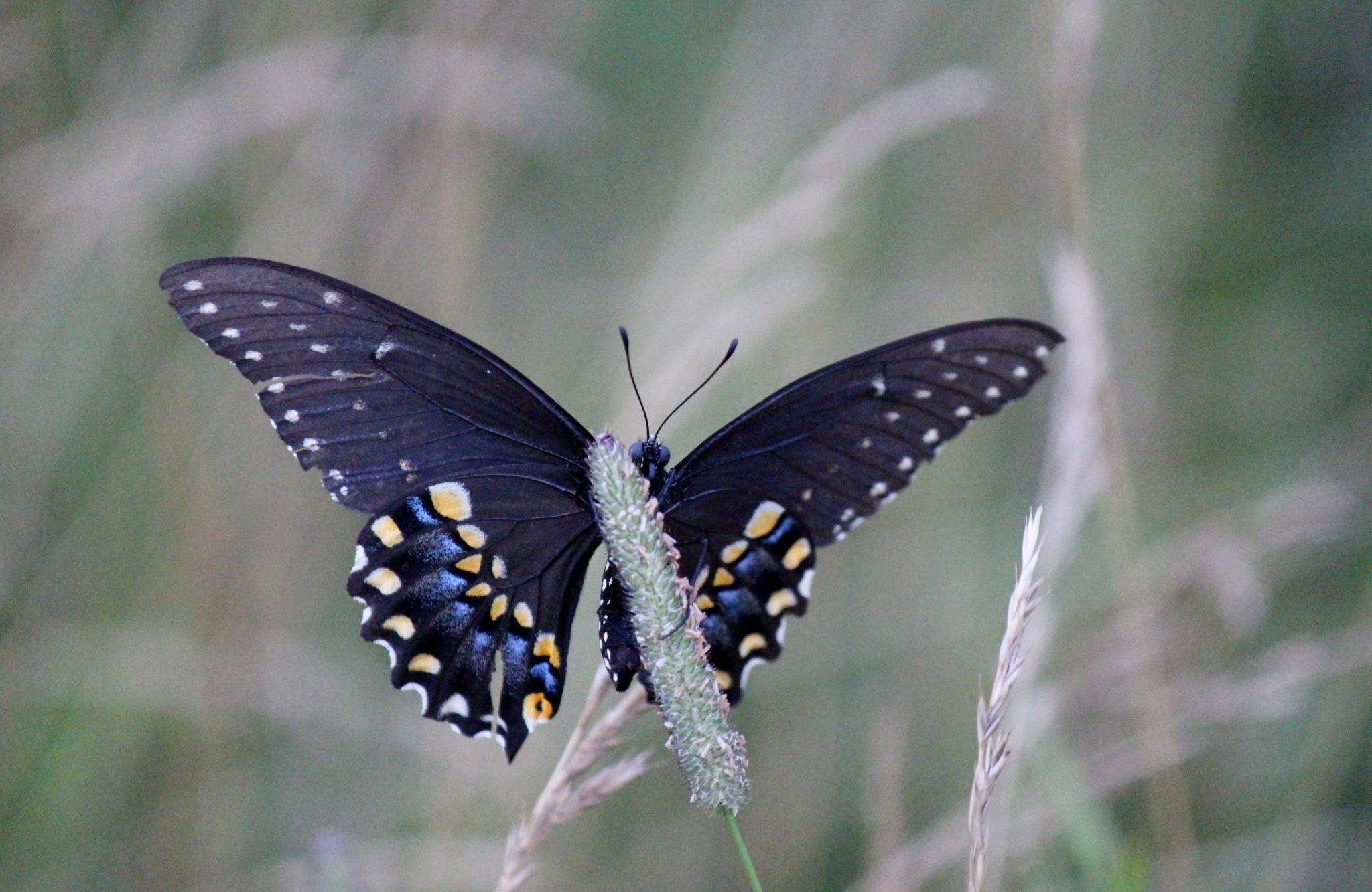 Butterfly in the meadow by Clark L. Roberts