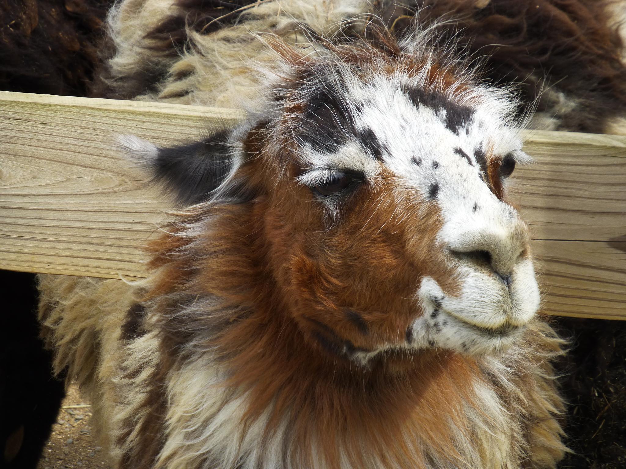 Llama of many colors by Clark L. Roberts