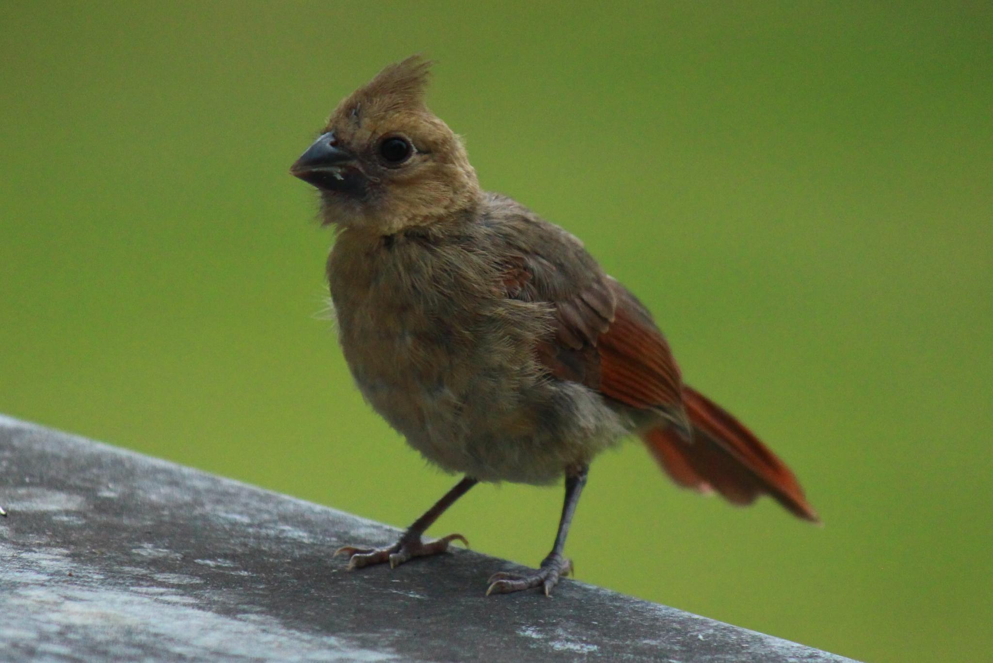 Baby cardinal on a roof by Clark L. Roberts