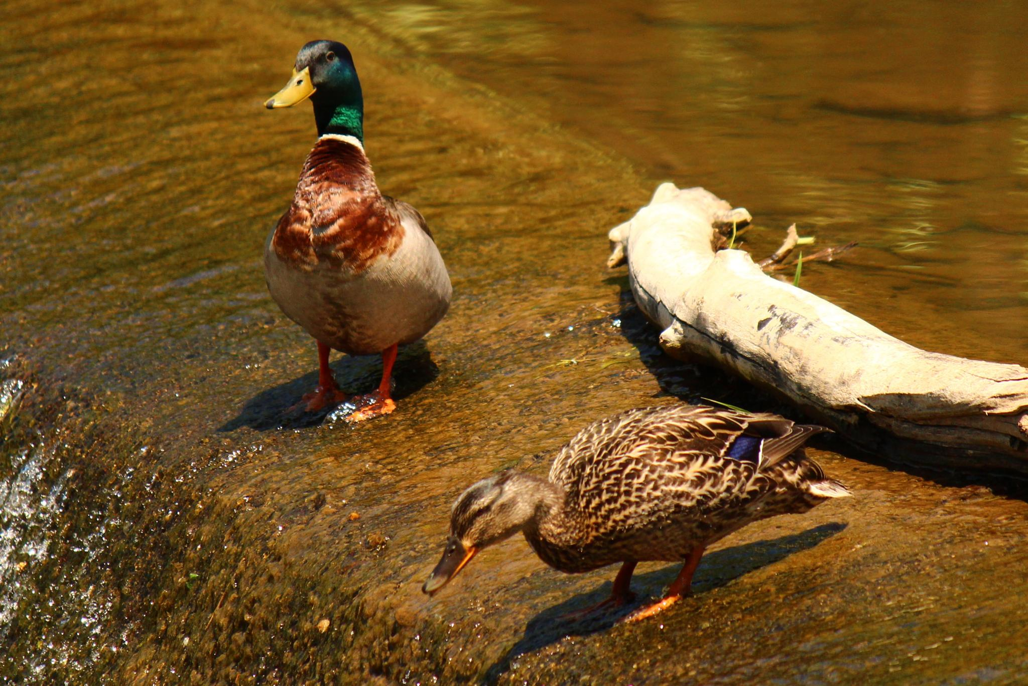Two ducks on top of a waterfall by Clark L. Roberts