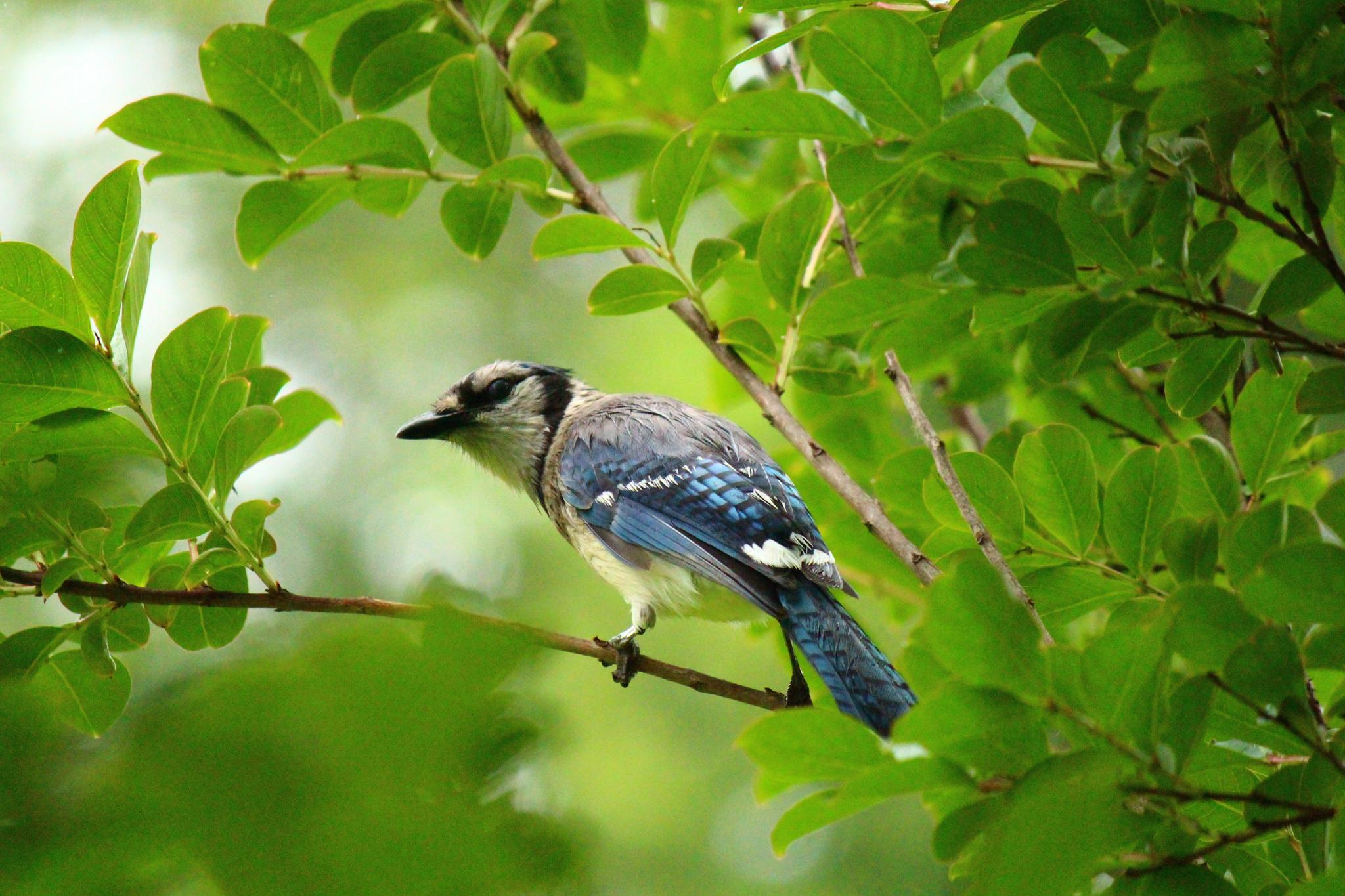 Blue Jay scouting his domain by Clark L. Roberts