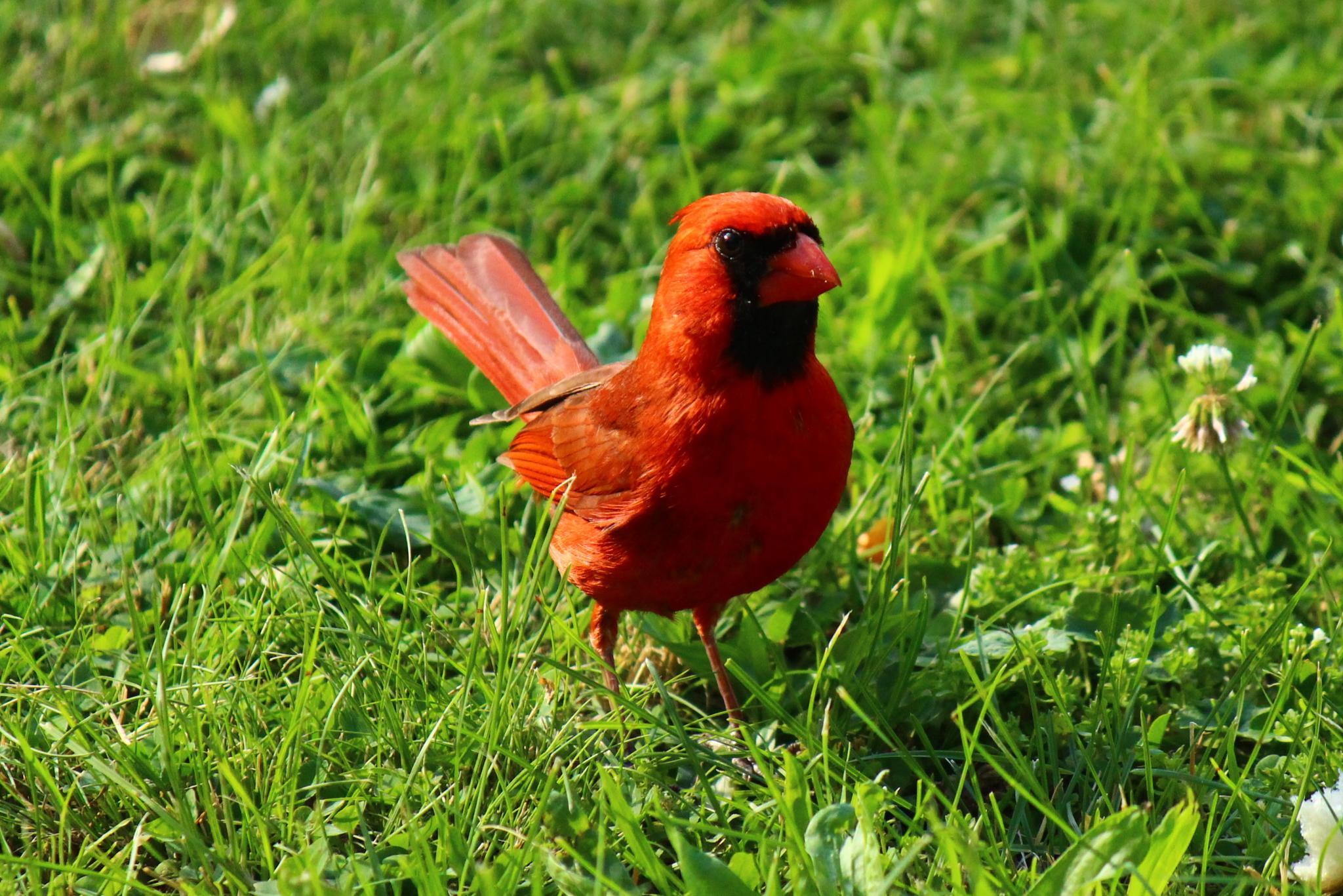 King cardinal by Clark L. Roberts