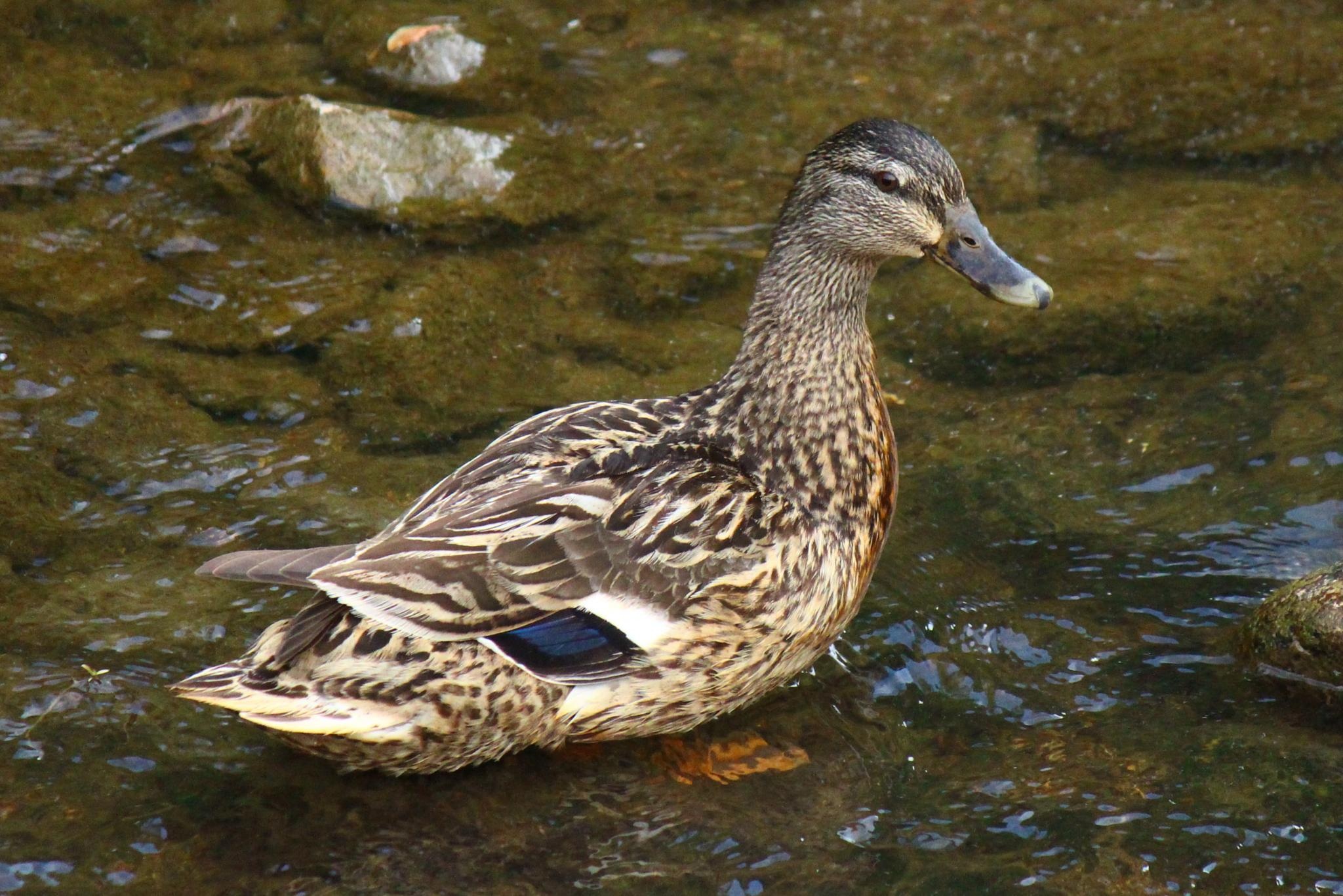 Duck wading in the creek by Clark L. Roberts