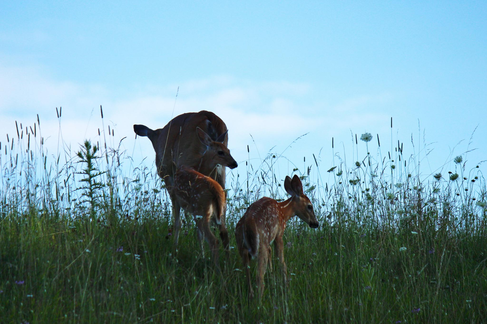 Doe and two fawns on the hill by Clark L. Roberts