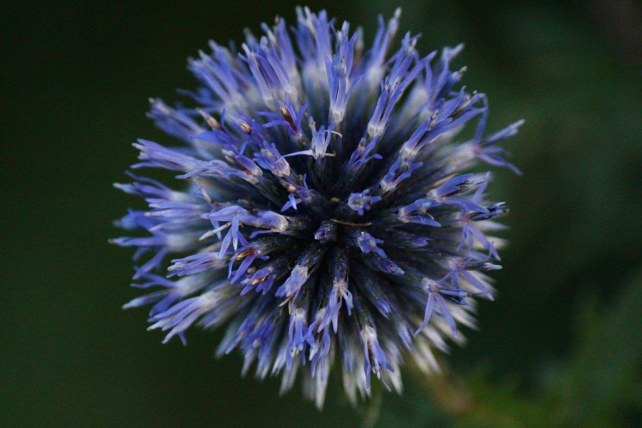 An allium flower head by Clark L. Roberts