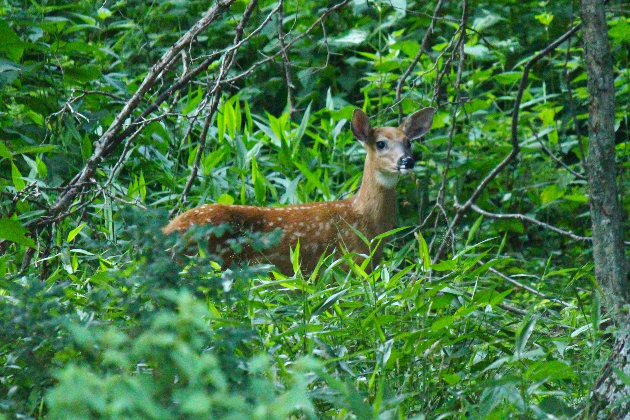 Fawn in the weeds by Clark L. Roberts