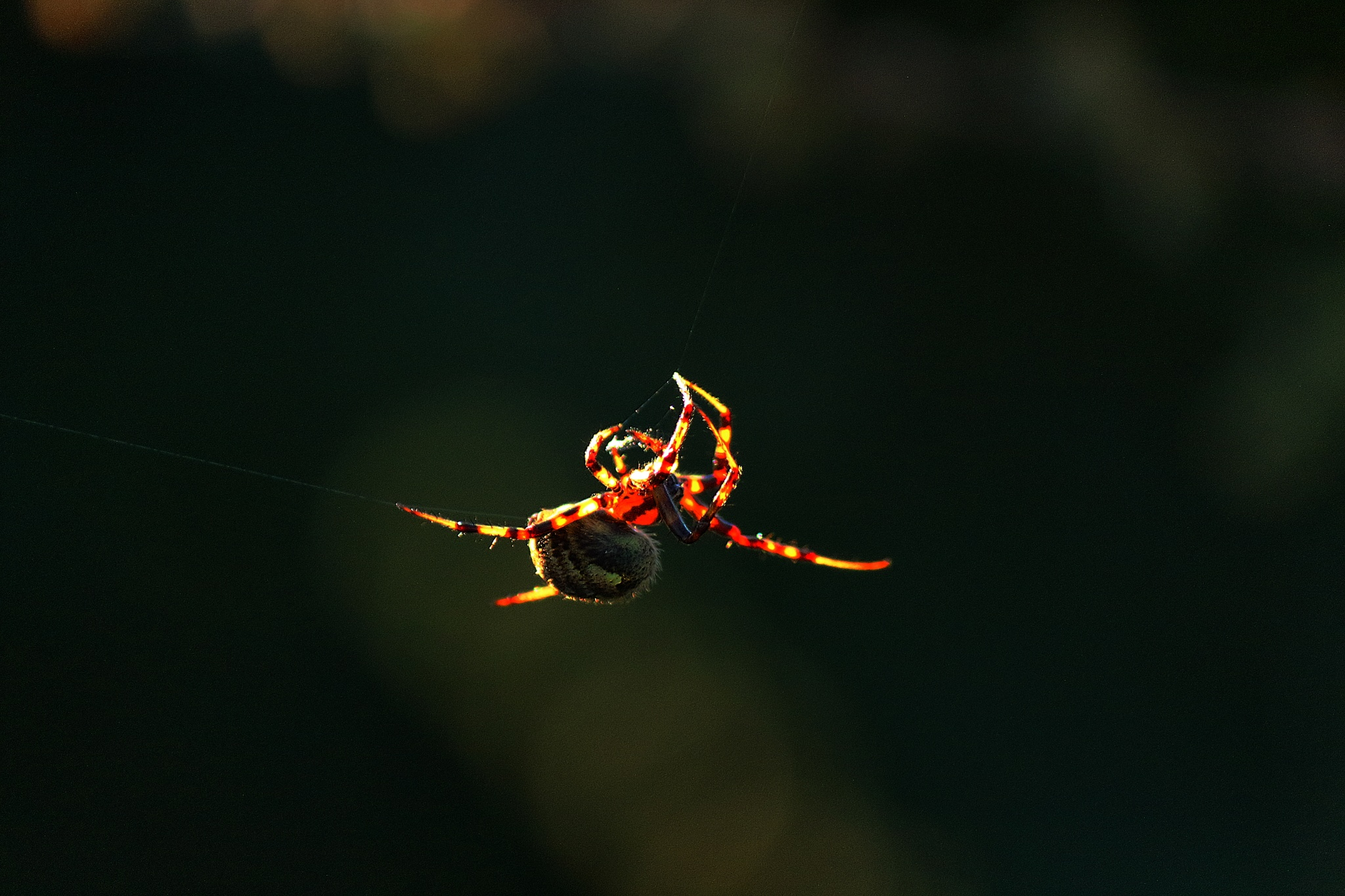 Spider in the evening sun light by Clark L. Roberts