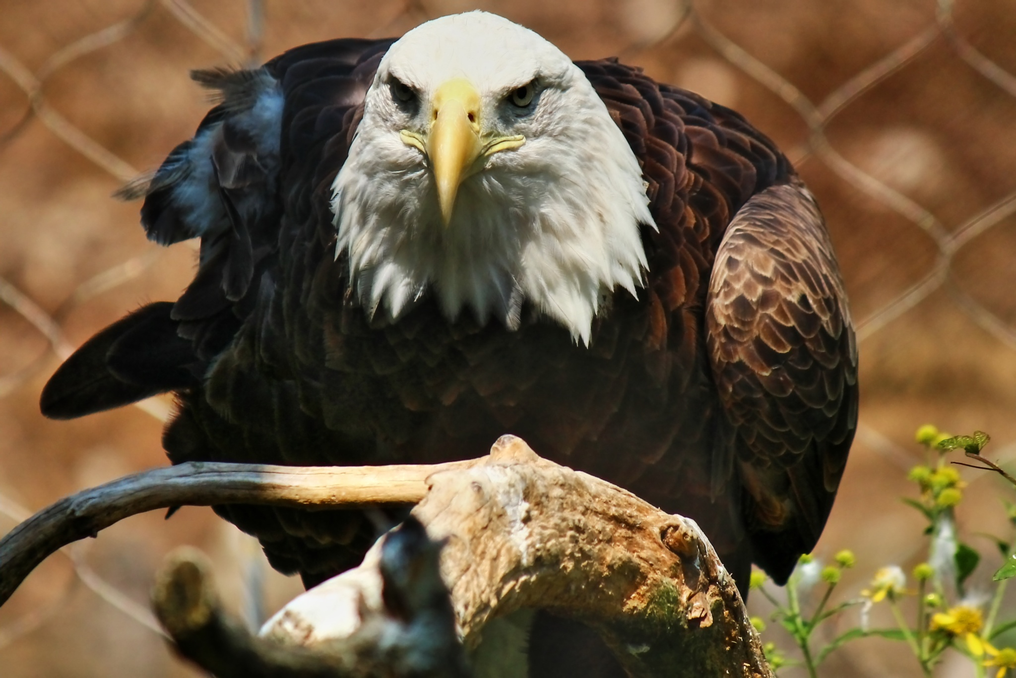 Eagle at Zoo America by Clark L. Roberts