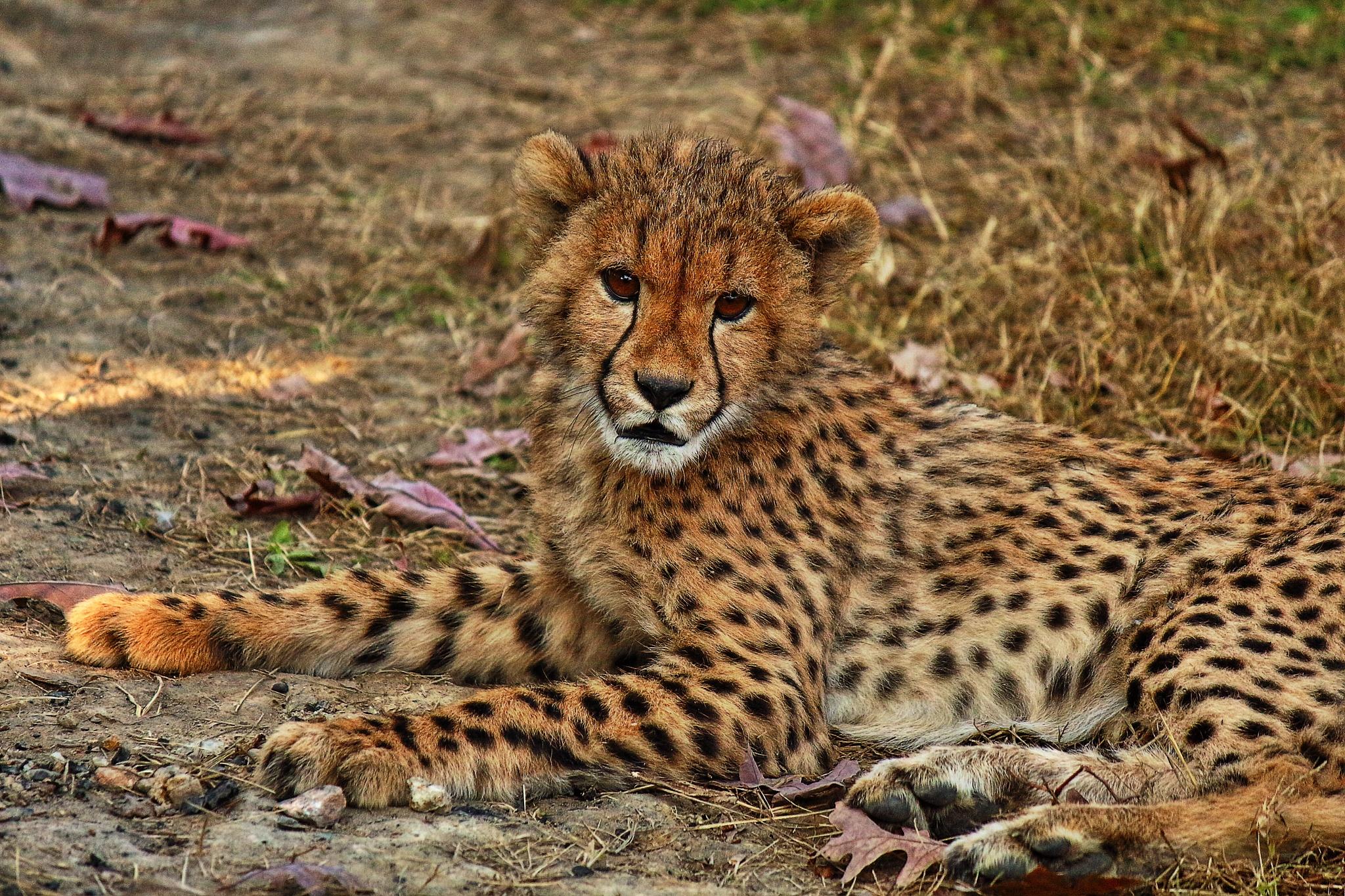 Kumbali the cheetah cub by Clark L. Roberts