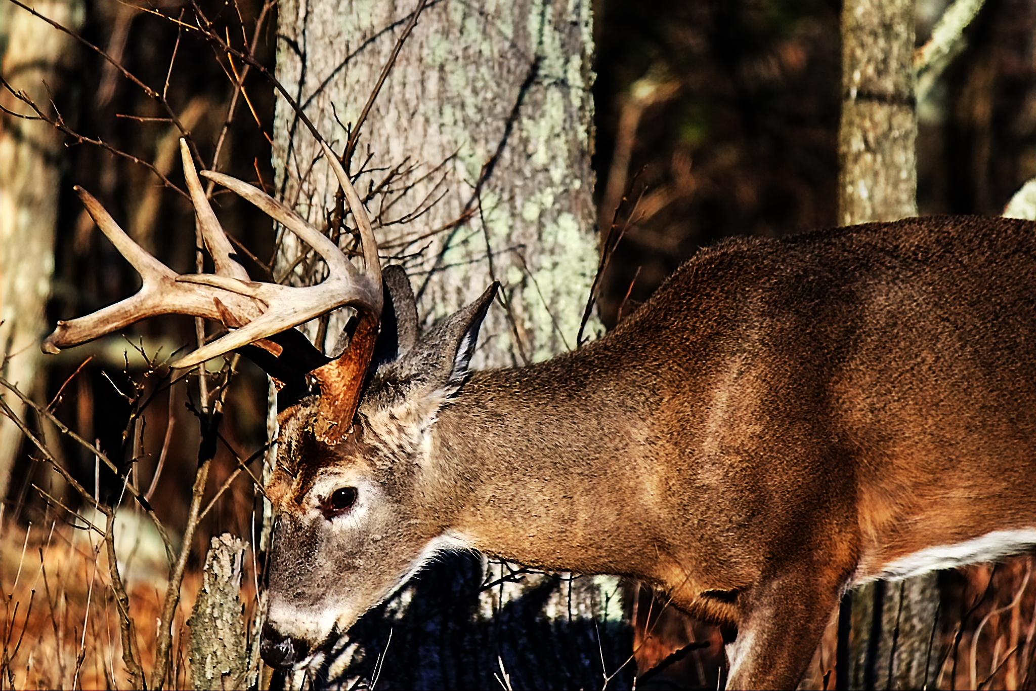 Fall in Virginia... Buck rutting by Clark L. Roberts