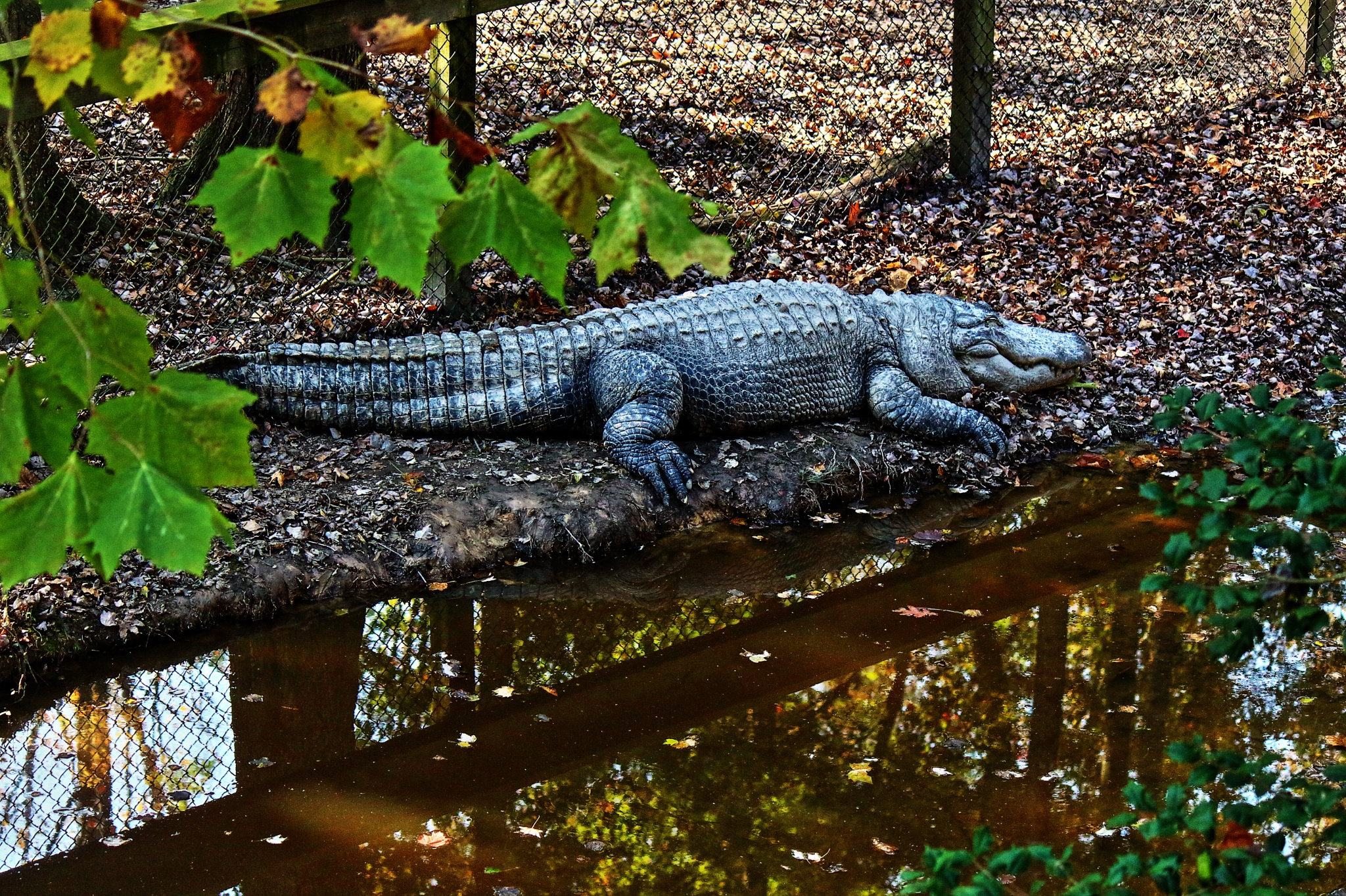 Gator napping by Clark L. Roberts
