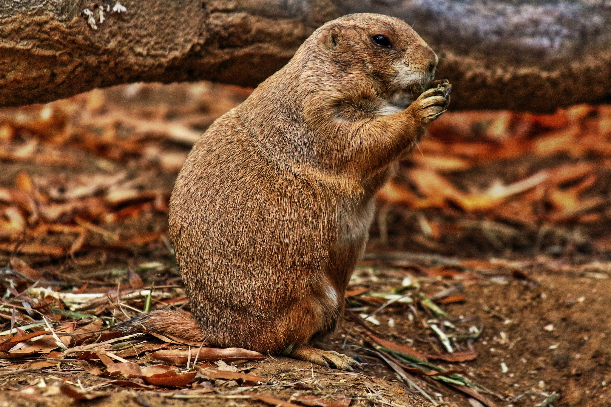 Prairie dog nibbles by Clark L. Roberts