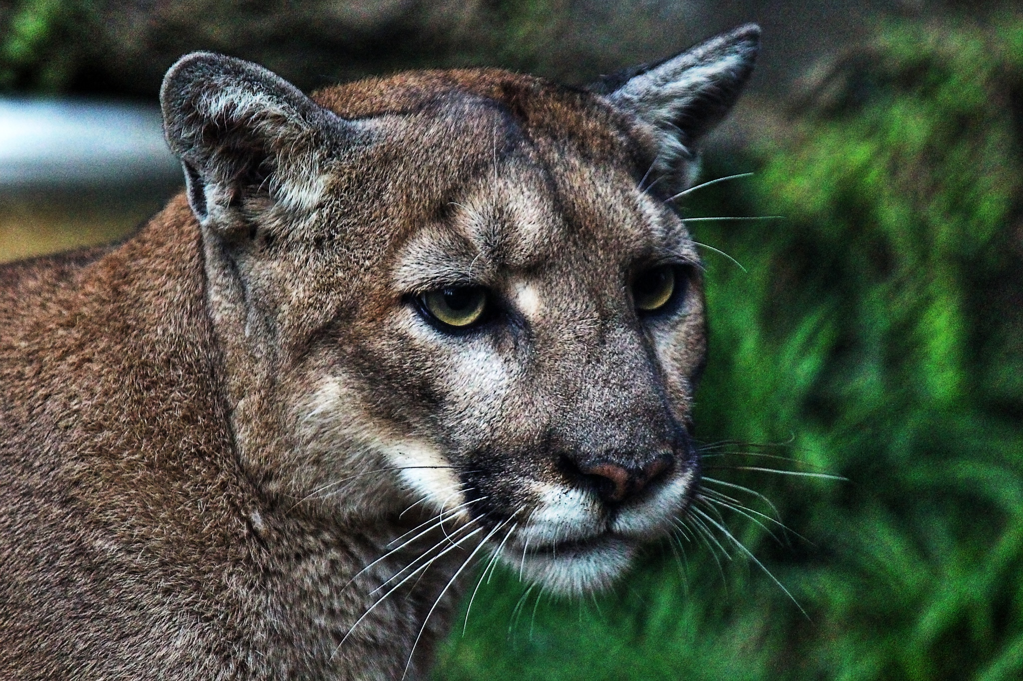 Mountain Lion face to face by Clark L. Roberts