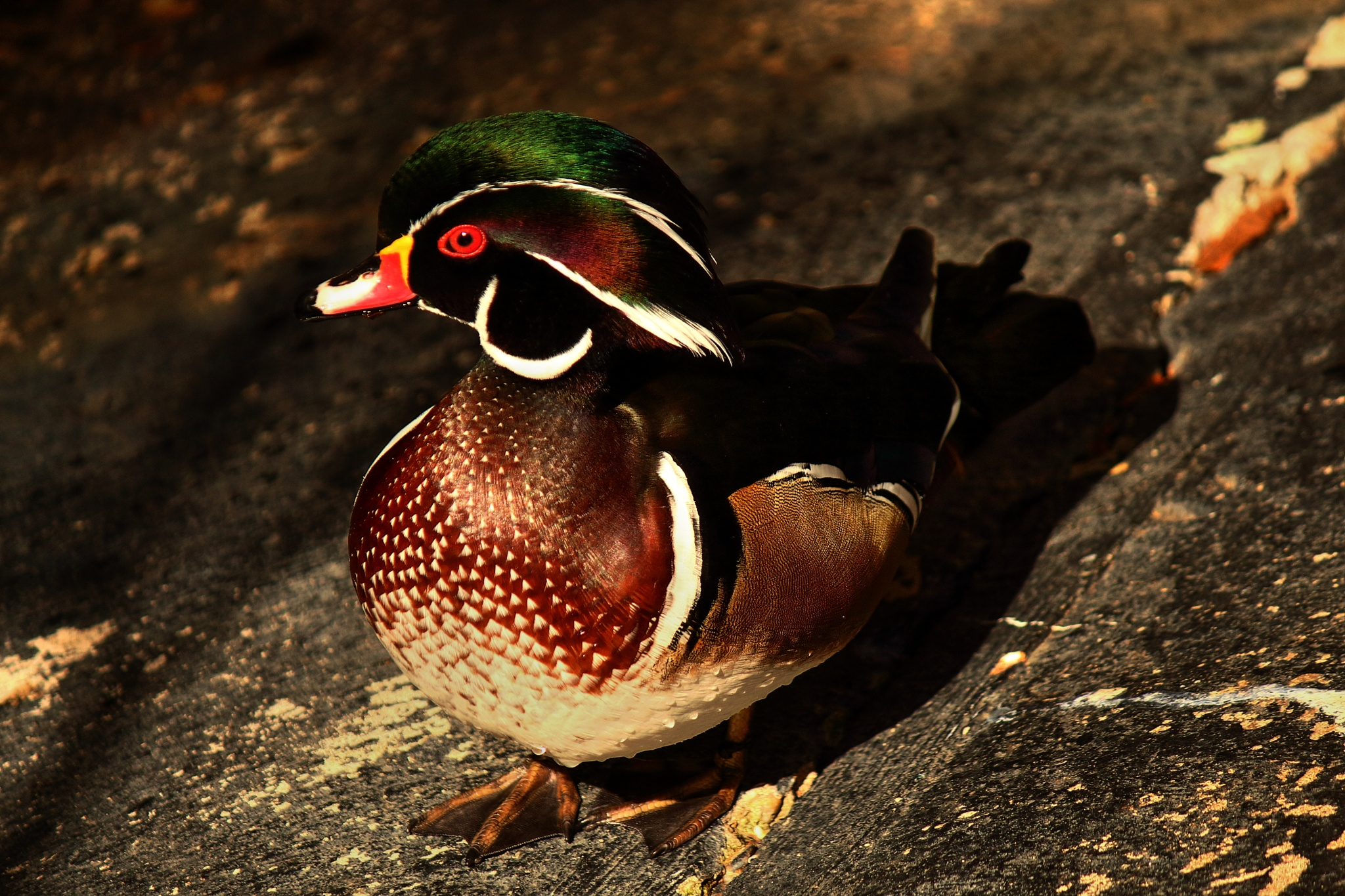 Wood duck giving me the eye by Clark L. Roberts