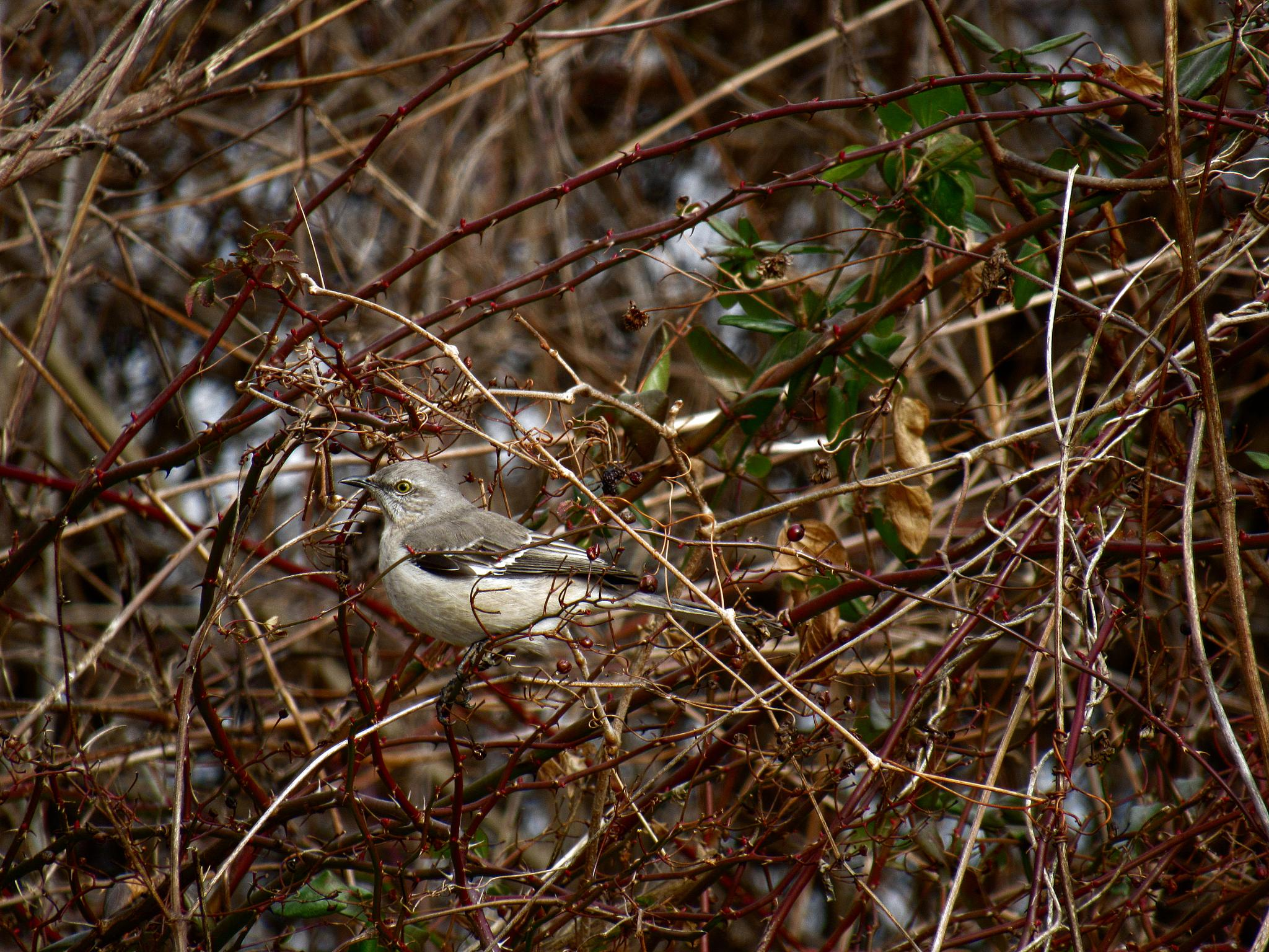 Northern Mockingbird by Catherine Wegener