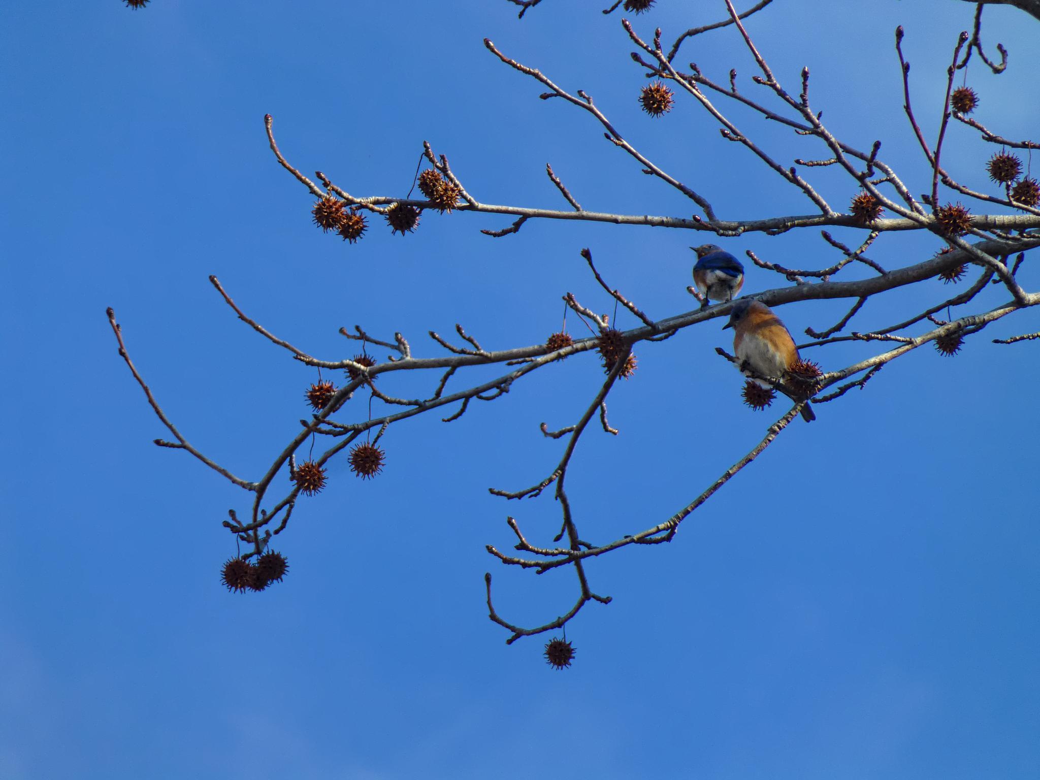 BLUE BIRDS AND BLUE SKY by Catherine Wegener