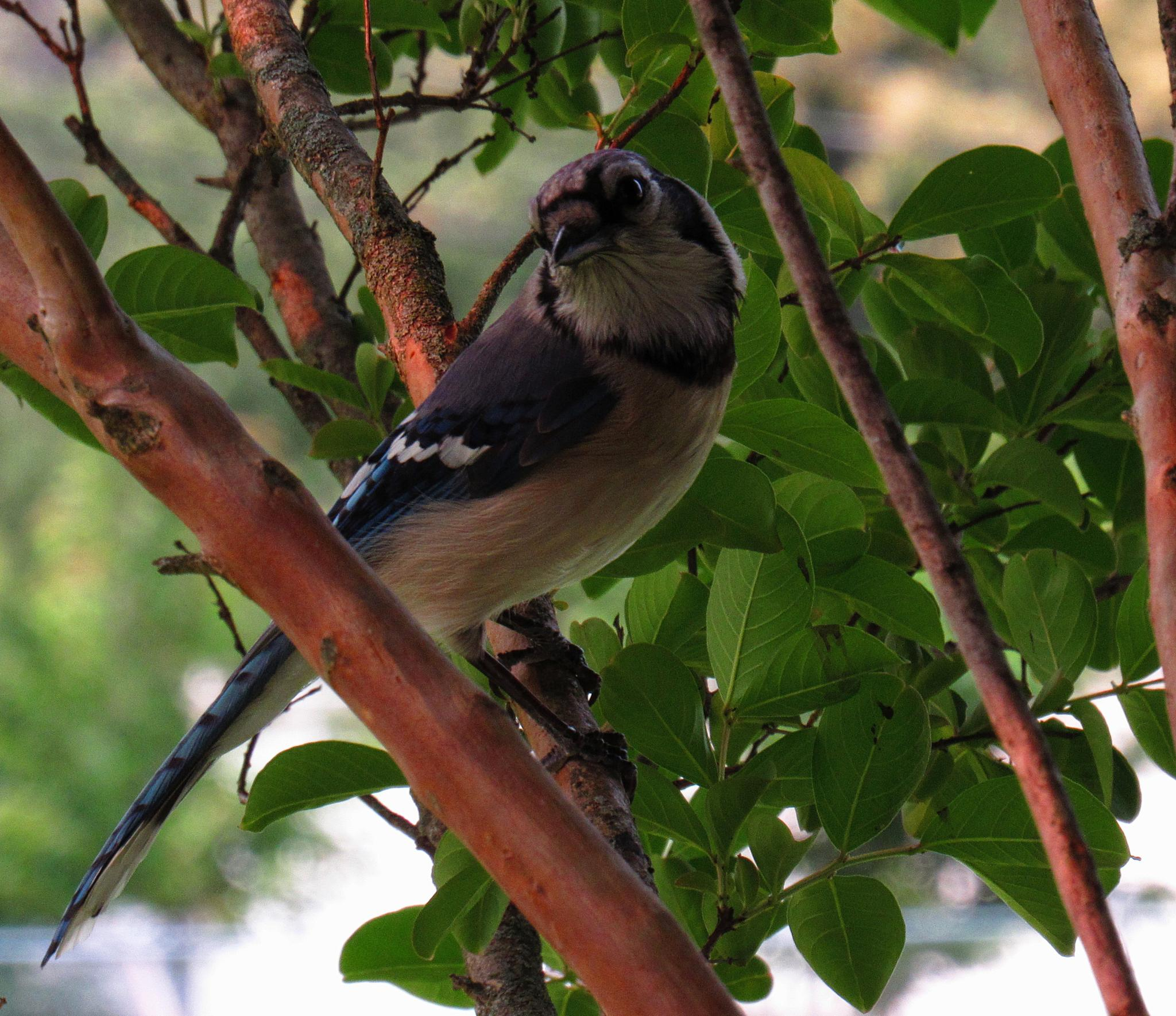 A New Blue Jay by Catherine Wegener